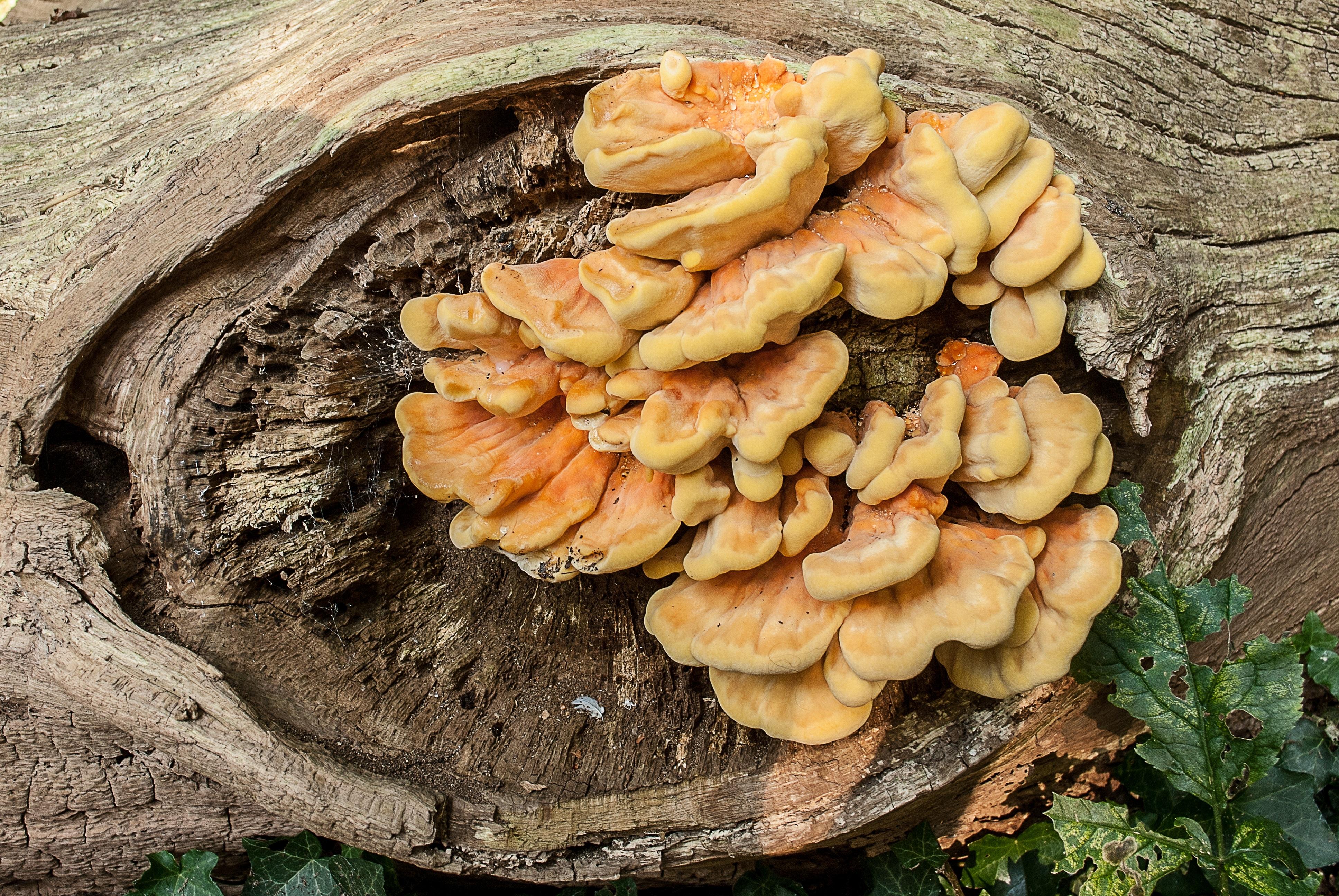 Images gratuites la nature for t produire l 39 automne - Champignon sur tronc d arbre ...