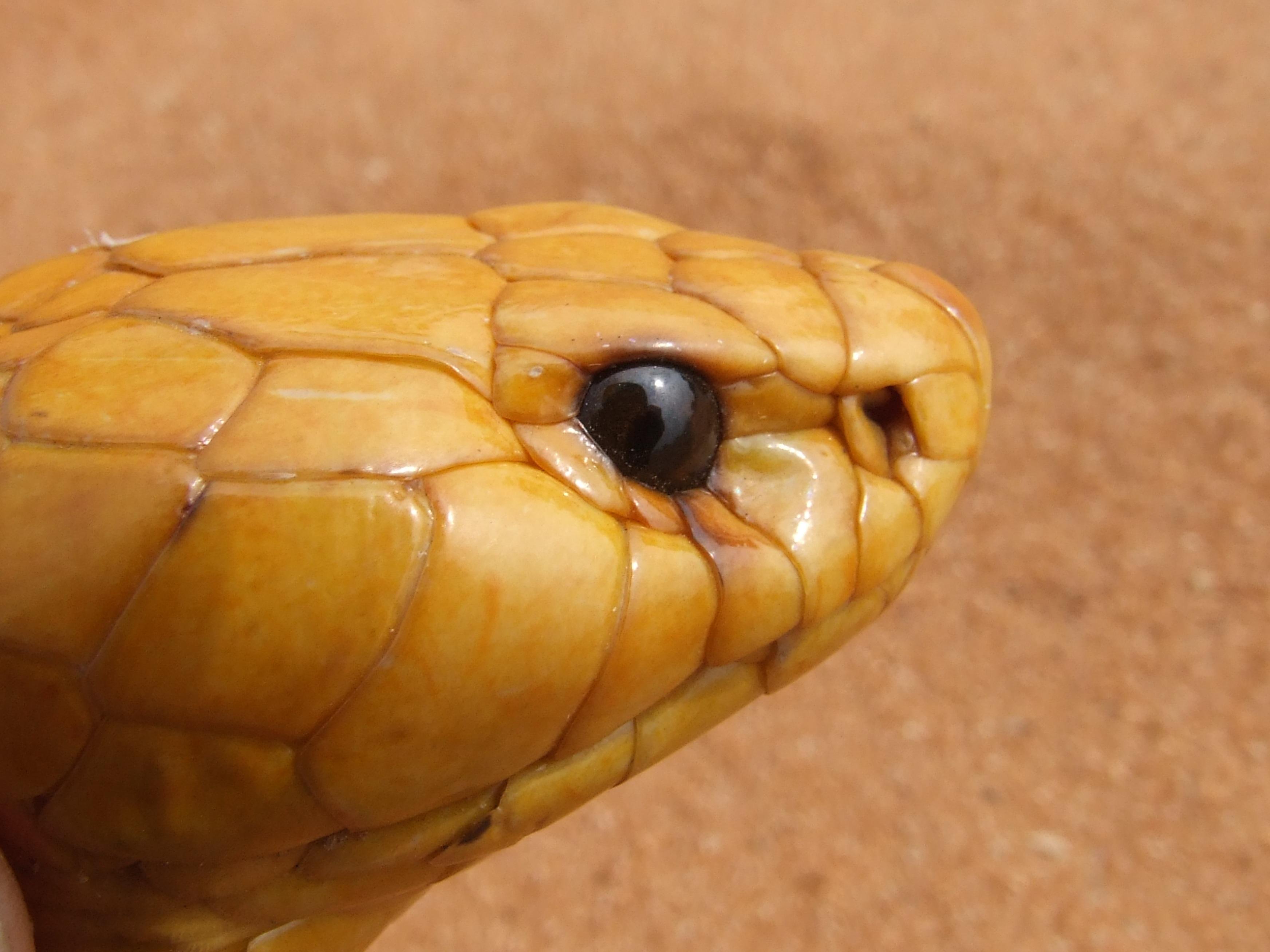 hình ảnh : thiên nhiên, Vàng, Bò sát, màu vàng, Động vật, Đóng lên, Mắt, cái đầu, con rắn, Động vật có xương sống, quy mô, Rắn hổ mang, nguy hiểm, Độc, ...
