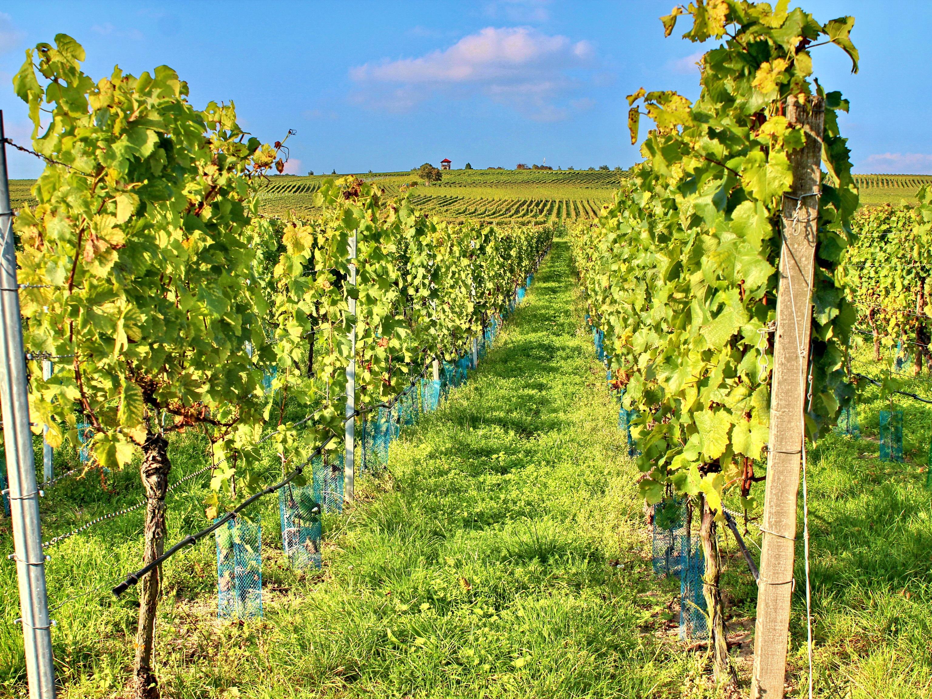 Healthy Fertile Vineyards