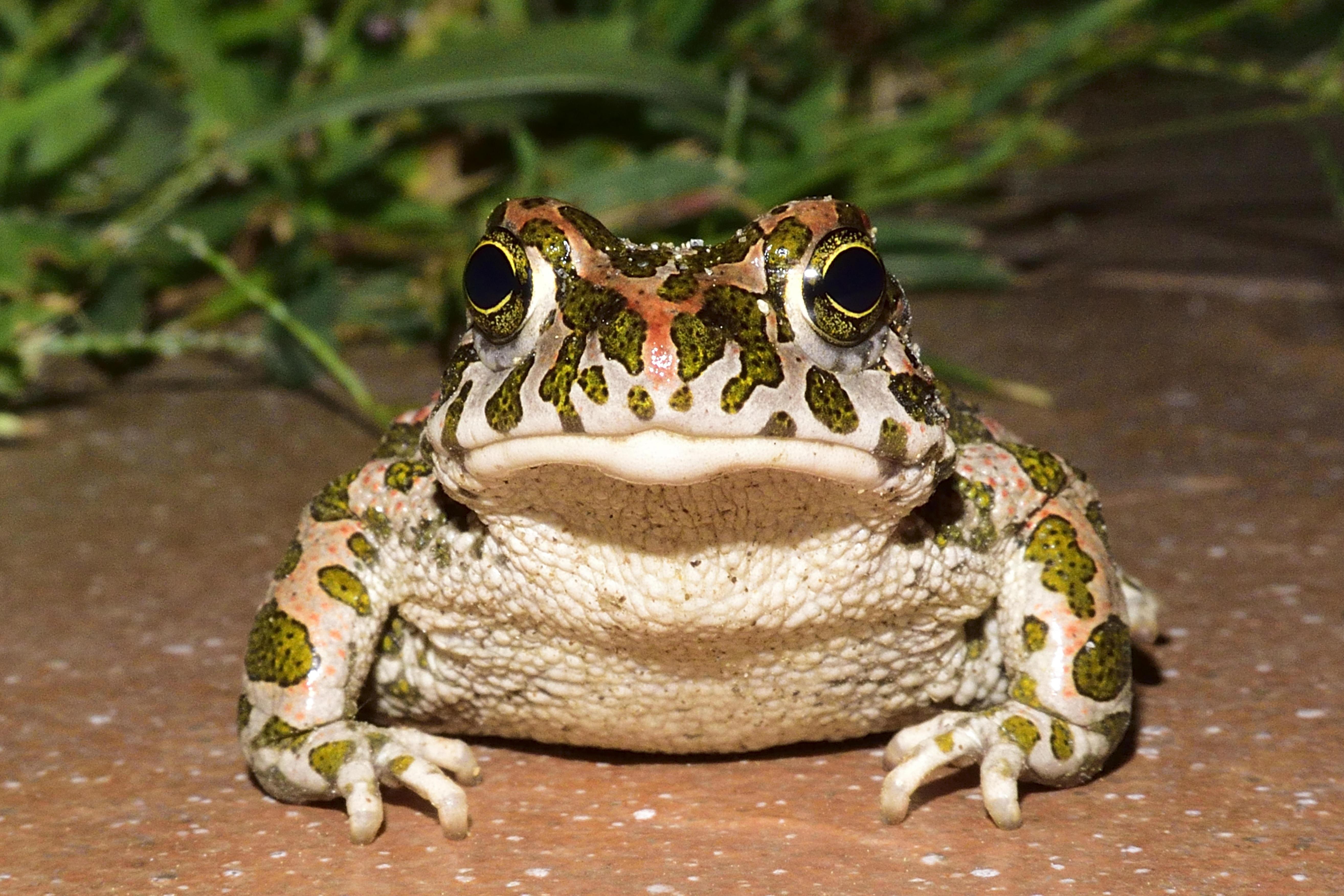 Kostenlose foto : Natur, Gras, Tier, Tierwelt, Grün, Makro, Frosch ...