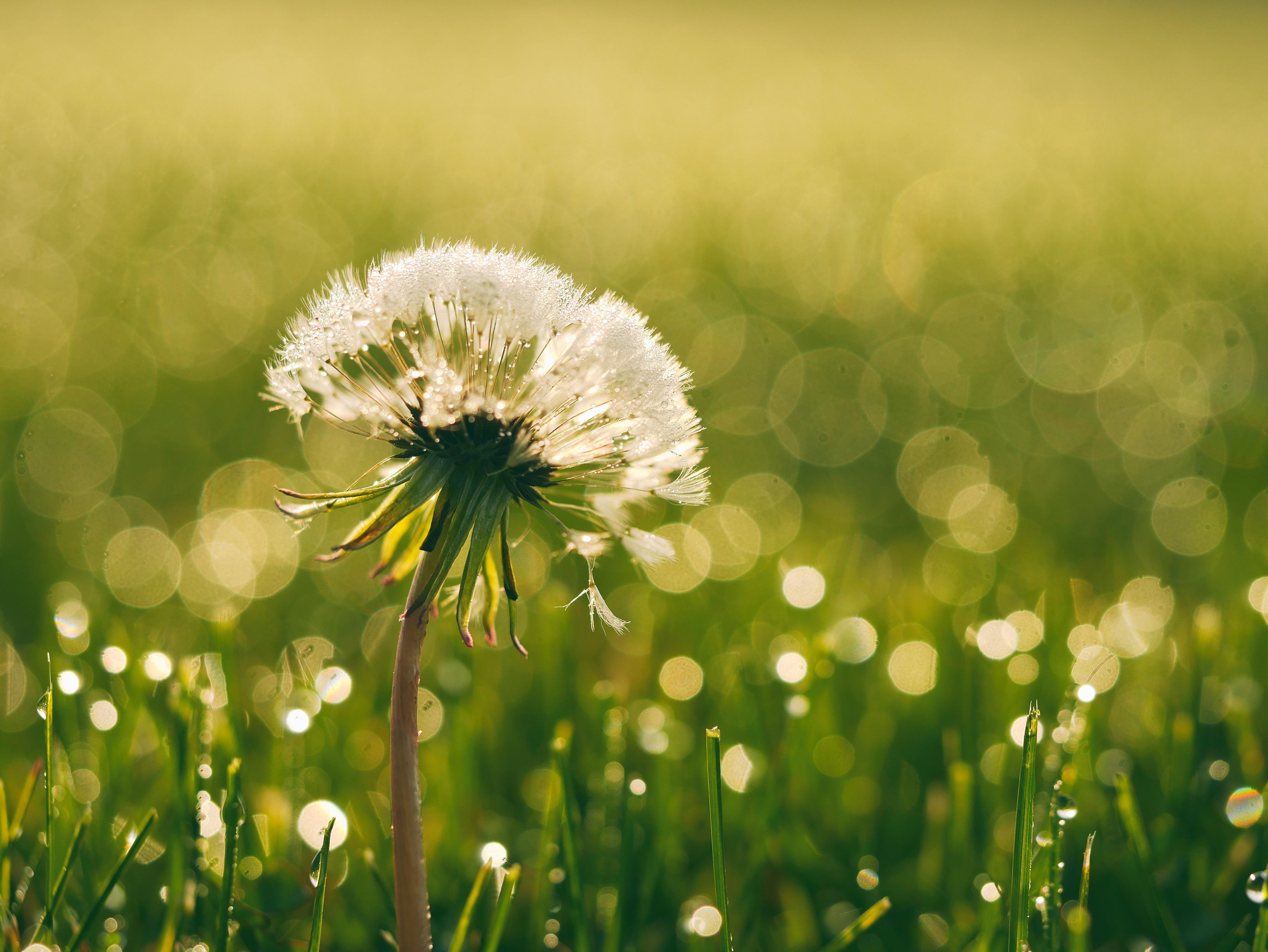 Citate Fotografie Free : 图片素材 性质 露 厂 领域 草坪 草地 蒲公英 草原 阳光 叶 花瓣 盛开 湿 绿色
