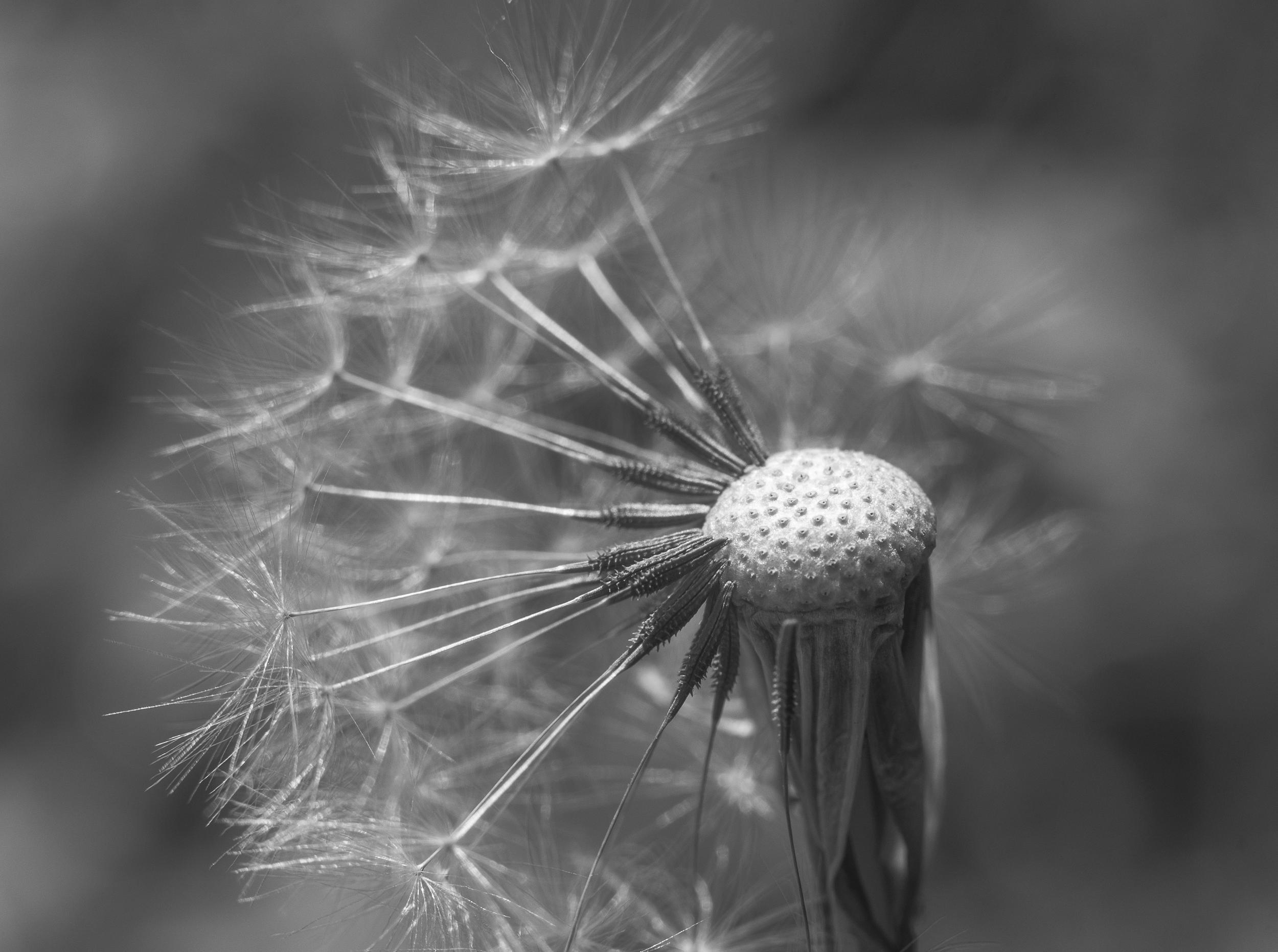Free images nature blossom light black and white dandelion leaf flower bloom europe color peace serene nikon closeup flora close up