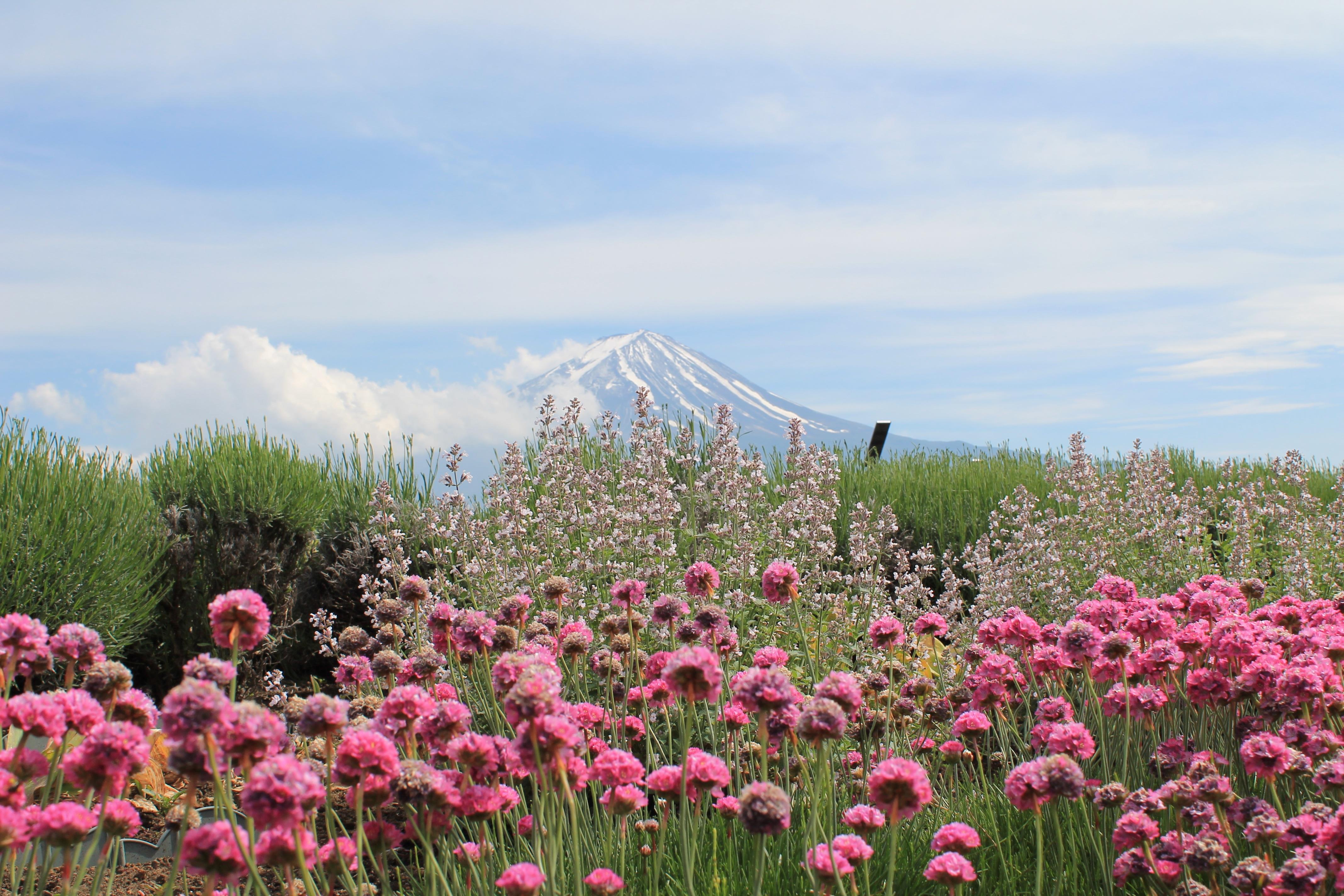 Free Images : nature, grass, blossom, mountain, sky, field, farm, meadow, prairie, flower, park, asia, japan, flora, wildflower, mount fuji, wild flowers, ...