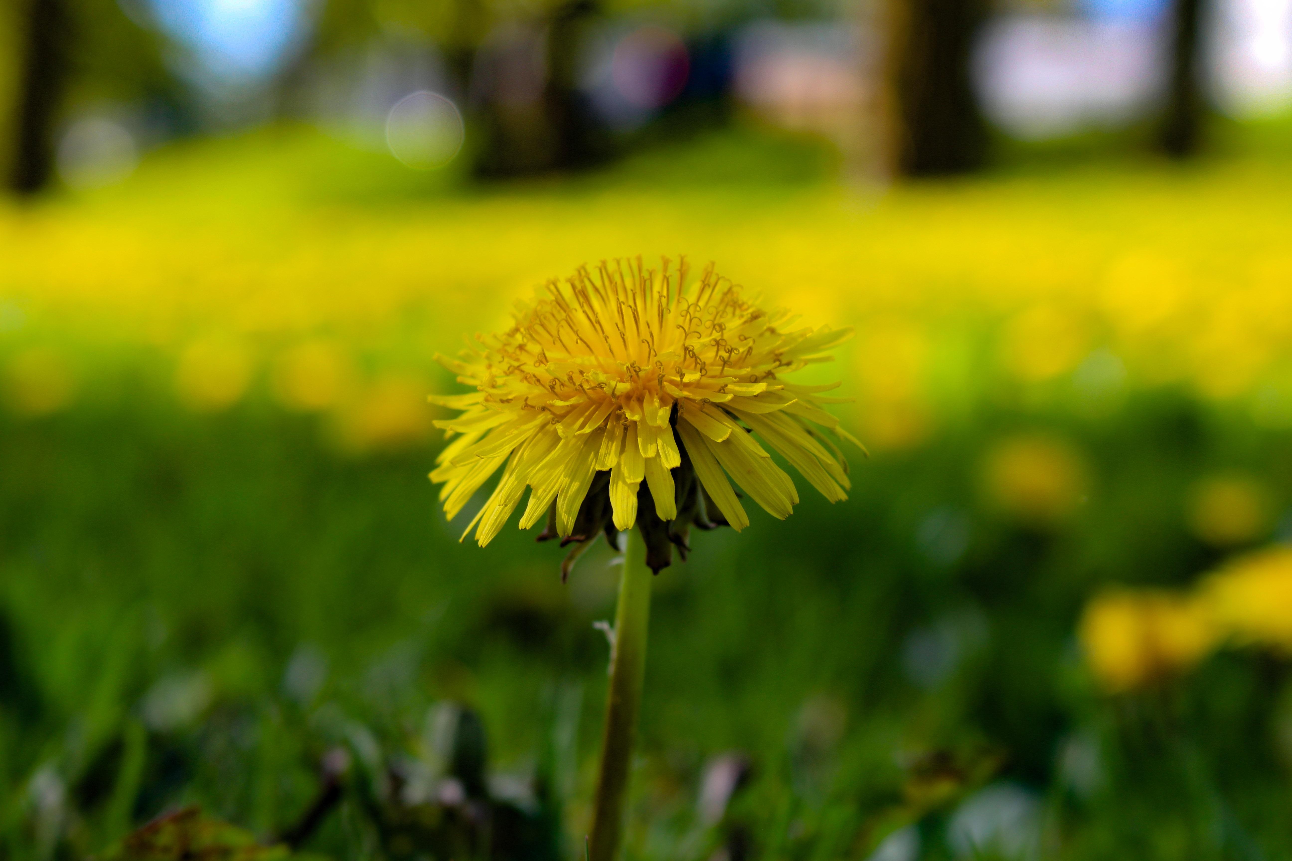 Images gratuites la nature herbe fleur champ pelouse prairie pissenlit prairie lumi re - Quand planter de la pelouse ...