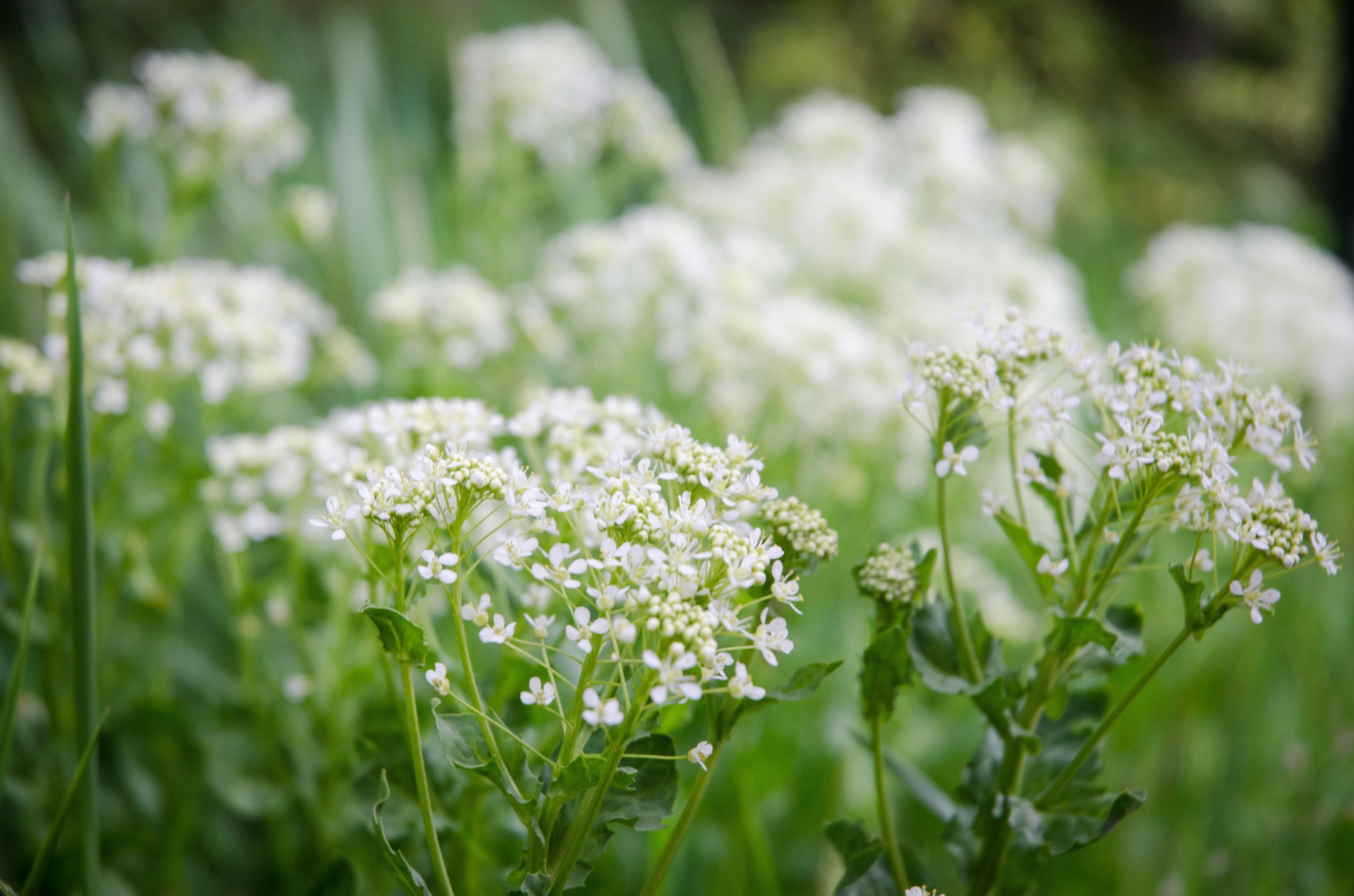 images gratuites la nature herbe fleur champ pelouse prairie vert botanique flore. Black Bedroom Furniture Sets. Home Design Ideas