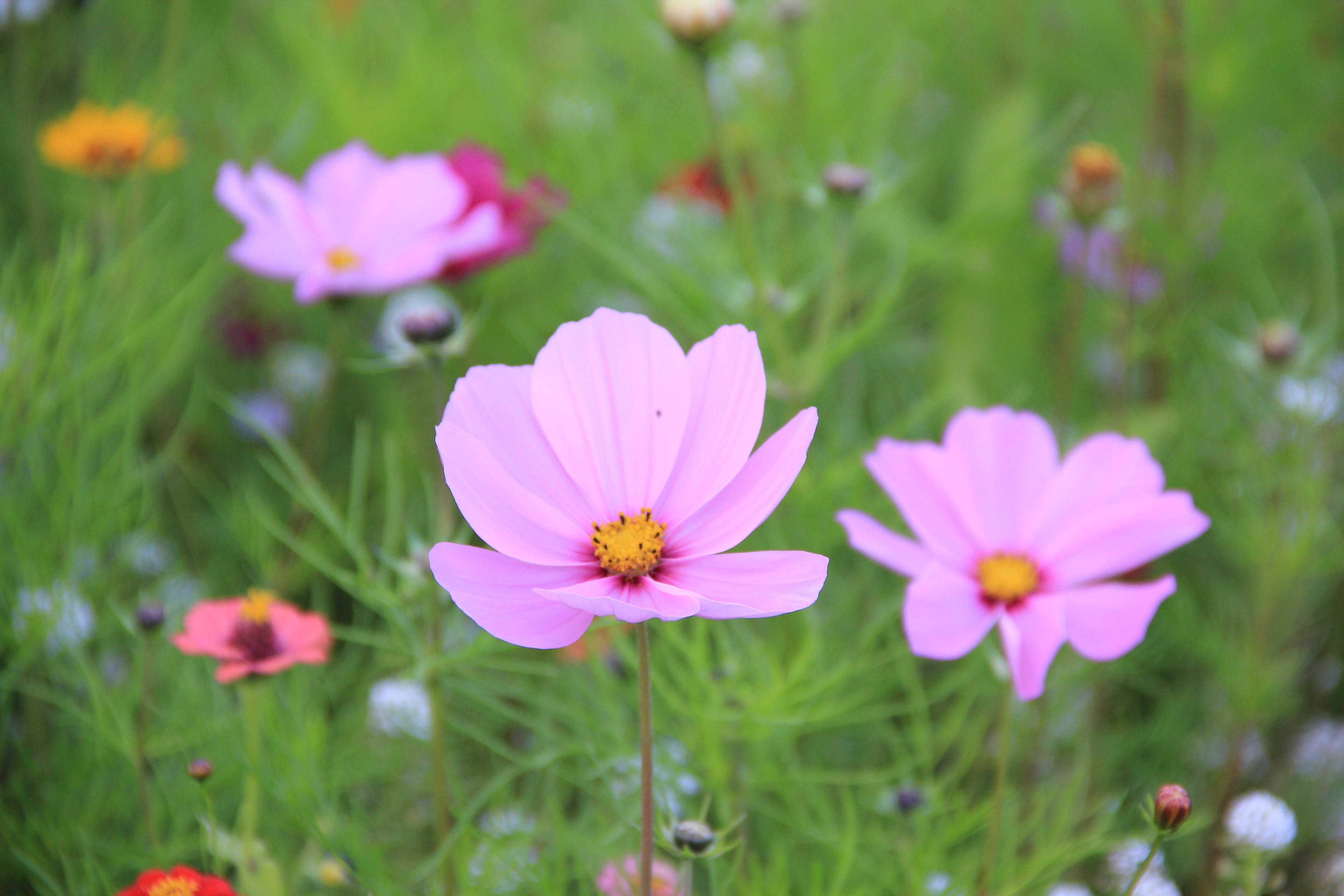 Free Images Nature Grass Blossom Field Petal Bloom Summer