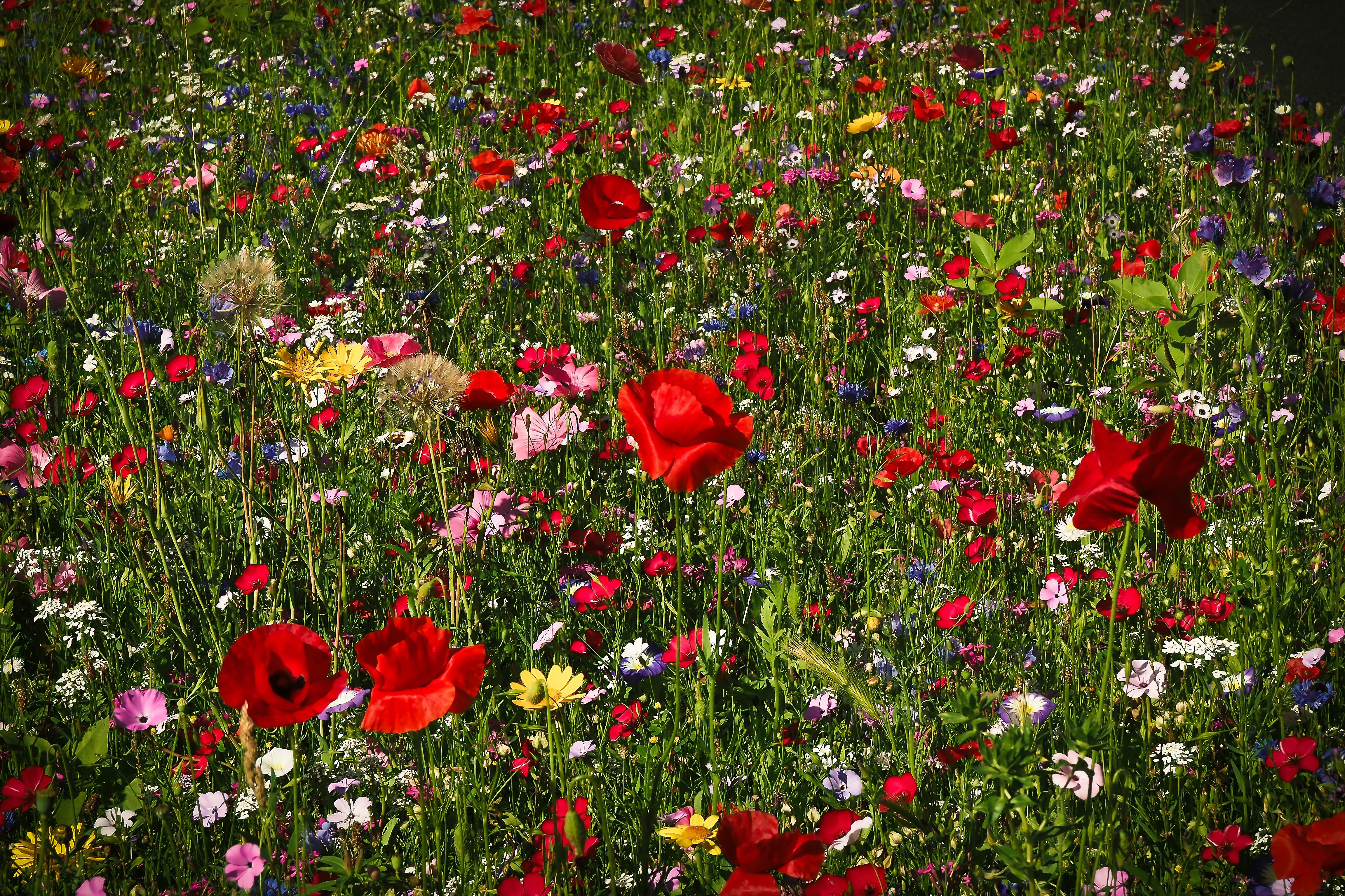 Immagini Belle : natura, erba, fiorire, fiore, petalo, fioritura ...