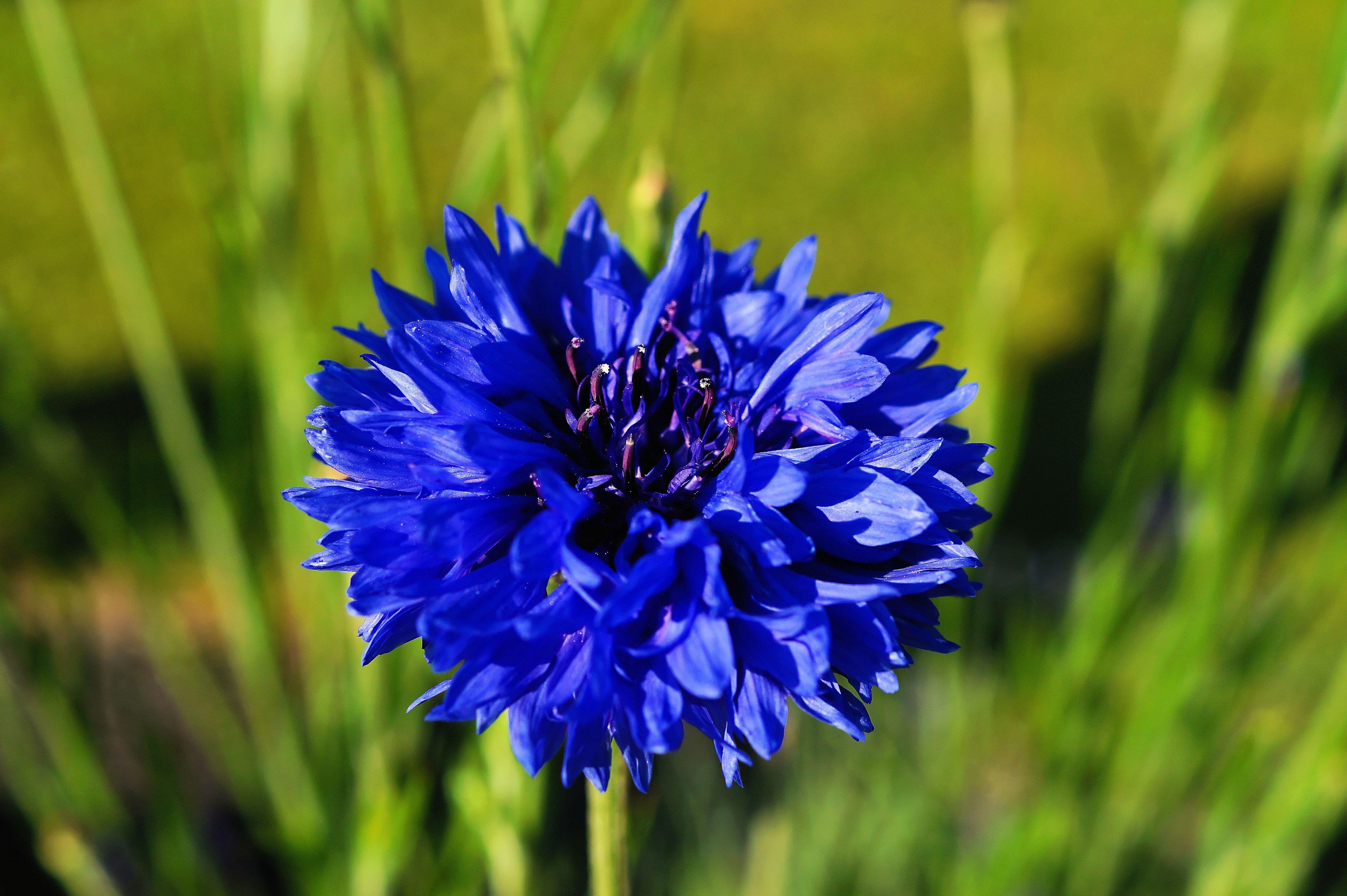 https://get.pxhere.com/photo/nature-grass-blossom-plant-field-meadow-prairie-flower-bloom-herb-produce-vegetable-botany-blue-close-flora-wildflower-centaurea-cyanus-cornflower-macro-photography-flowering-plant-plant-stem-land-plant-1100682.jpg