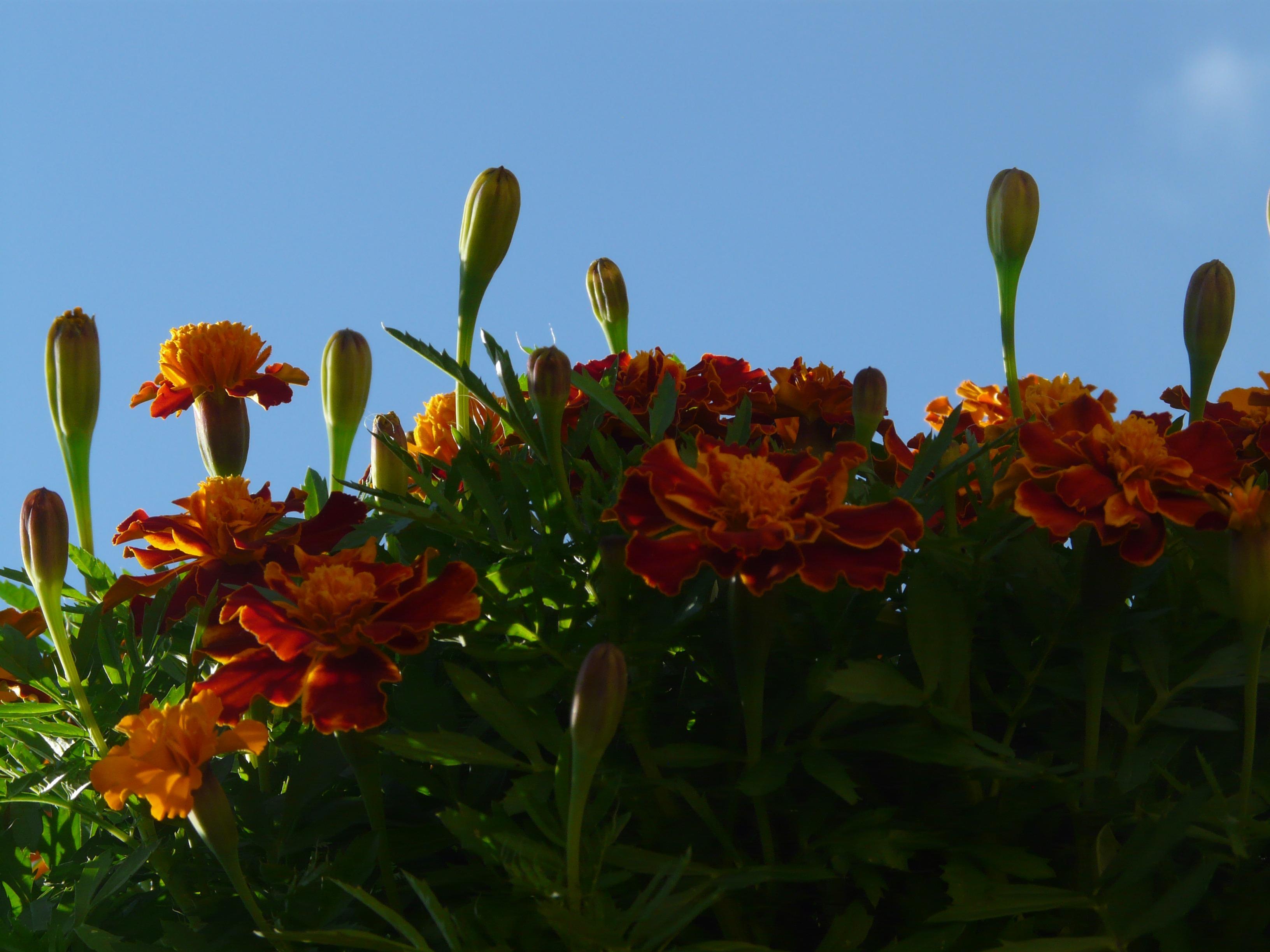 Free Images Nature Grass Blossom Field Meadow Prairie Leaf Petal Bloom Orange Red Botany Colorful Garden Flora Dead Flower Wildflower