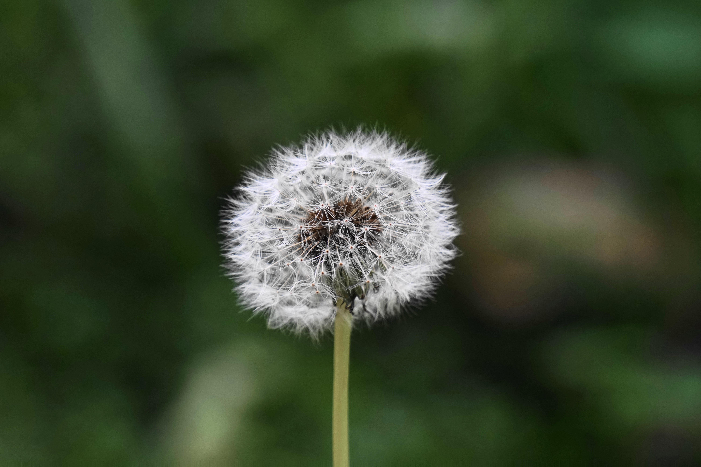 Gambar Alam Mekar Menanam Bidang Padang Rumput Dandelion