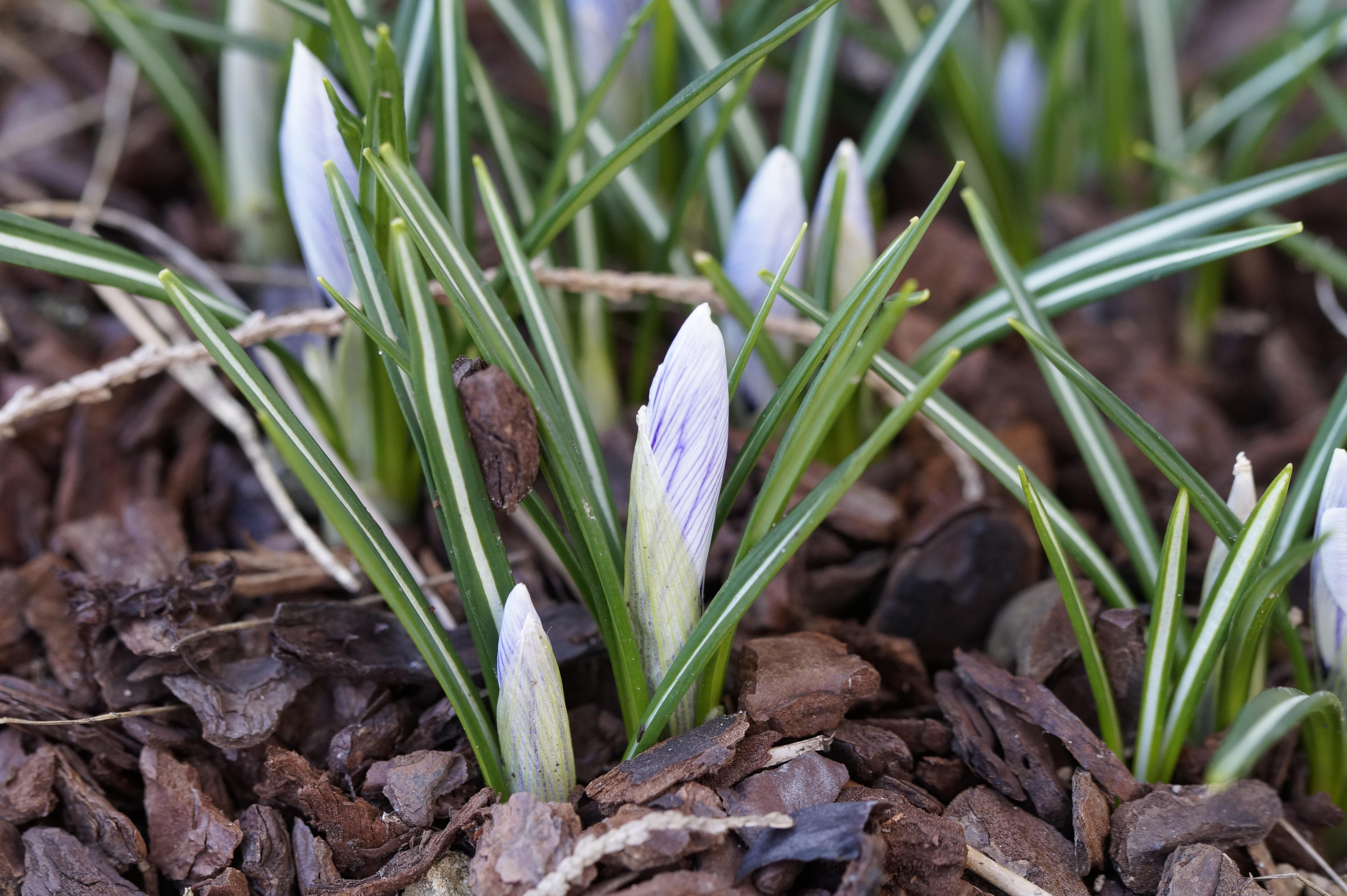 free images nature blossom purple bloom herb soil botany