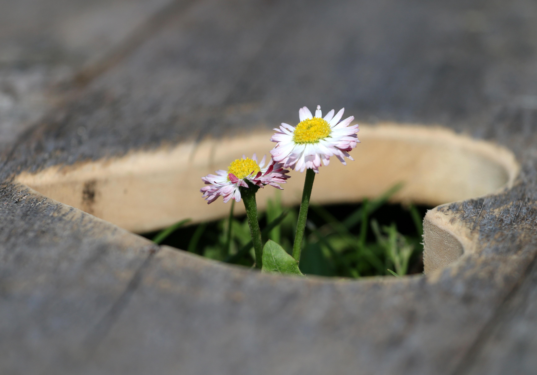 Free Images Nature Grass Blossom Leaf Flower Petal Daisy
