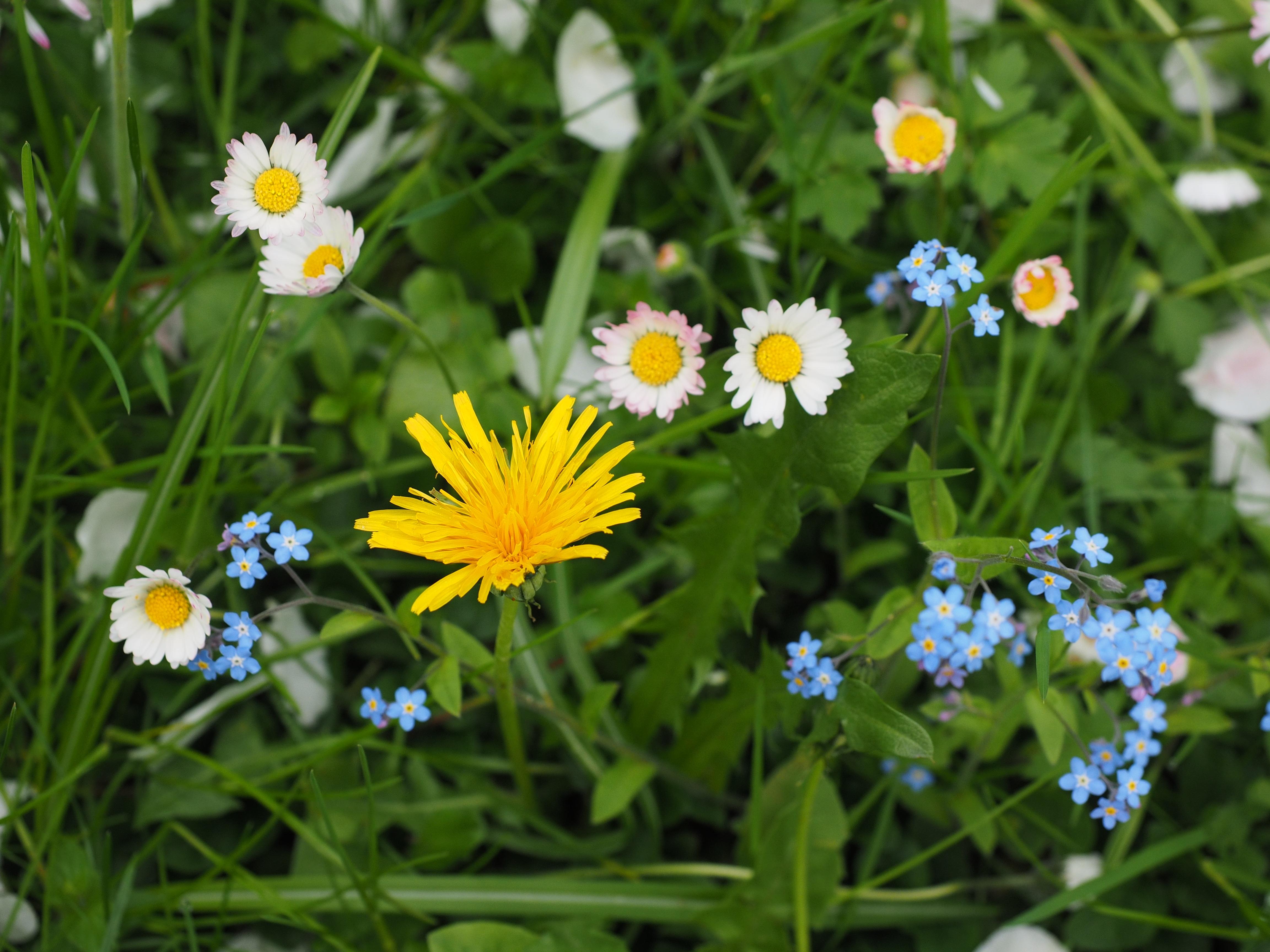 Free Images Nature Blossom White Field Dandelion Prairie