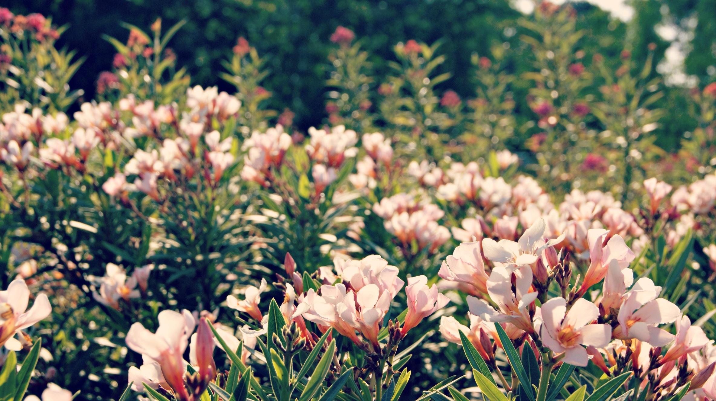 Free images nature grass blossom white lawn meadow petal free images nature grass blossom white lawn meadow petal bloom summer floral tulip spring botany garden pink flora season botanical mightylinksfo