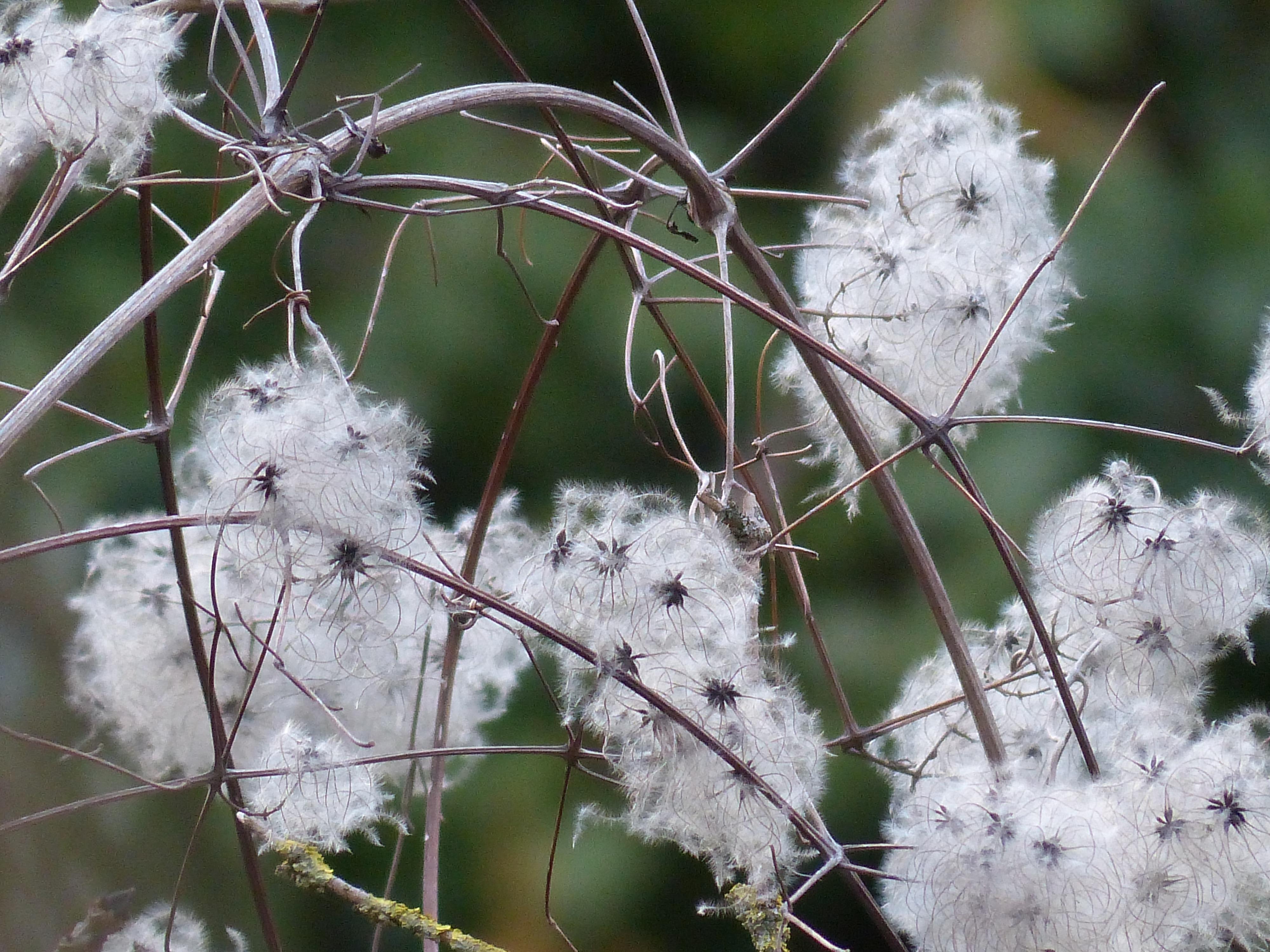 Branche Fleur De Coton images gratuites : la nature, herbe, branche, fleur, neige