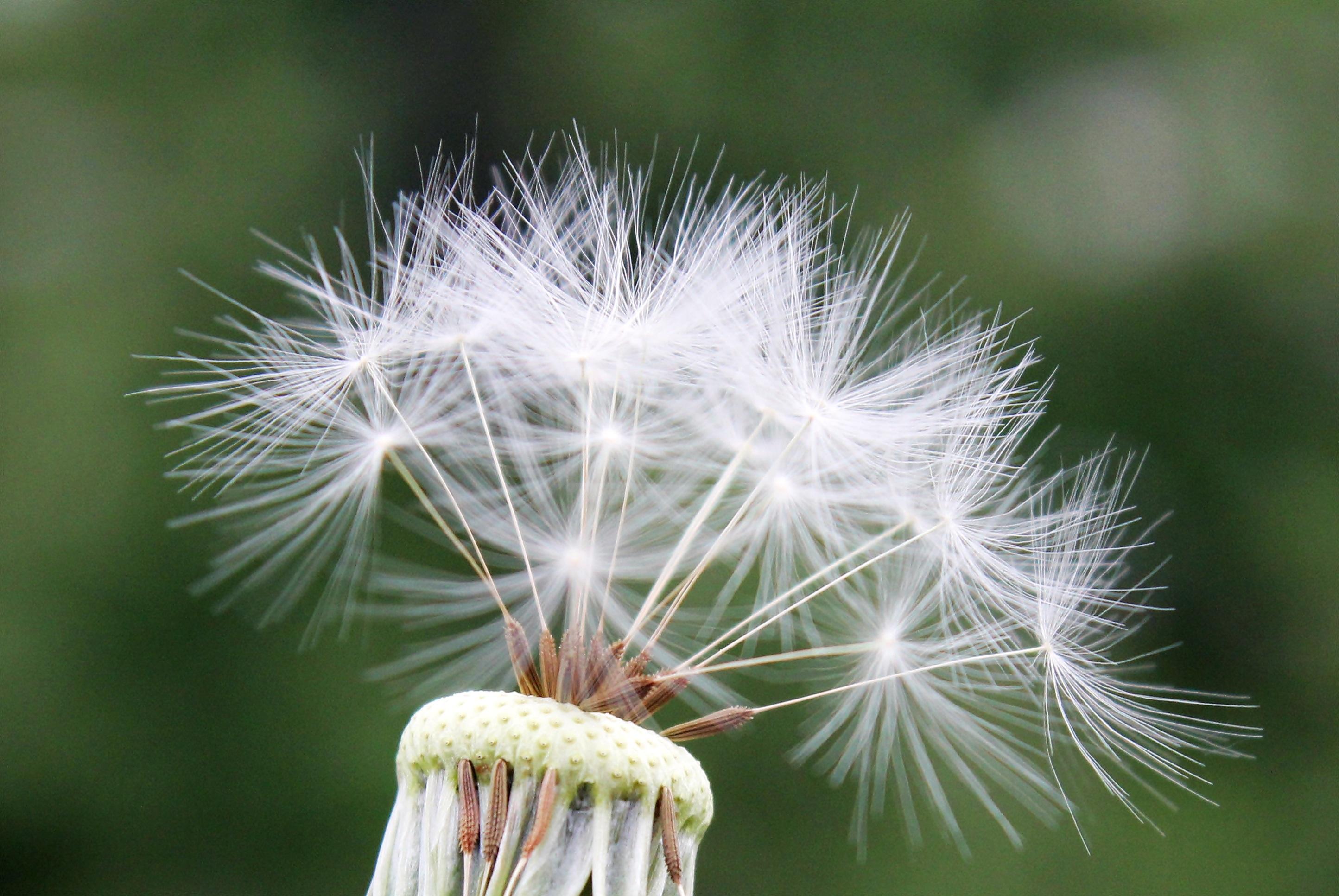 Картинки семена одуванчика