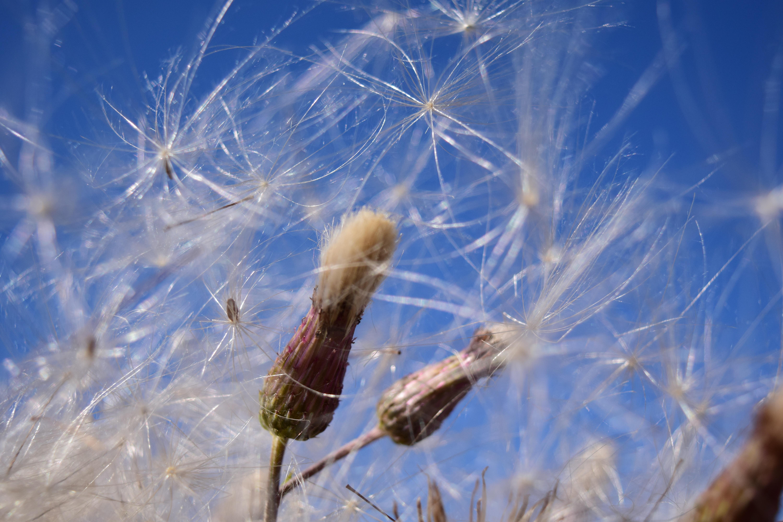 Табак душистый выращивание из семян фото пальто выглядит