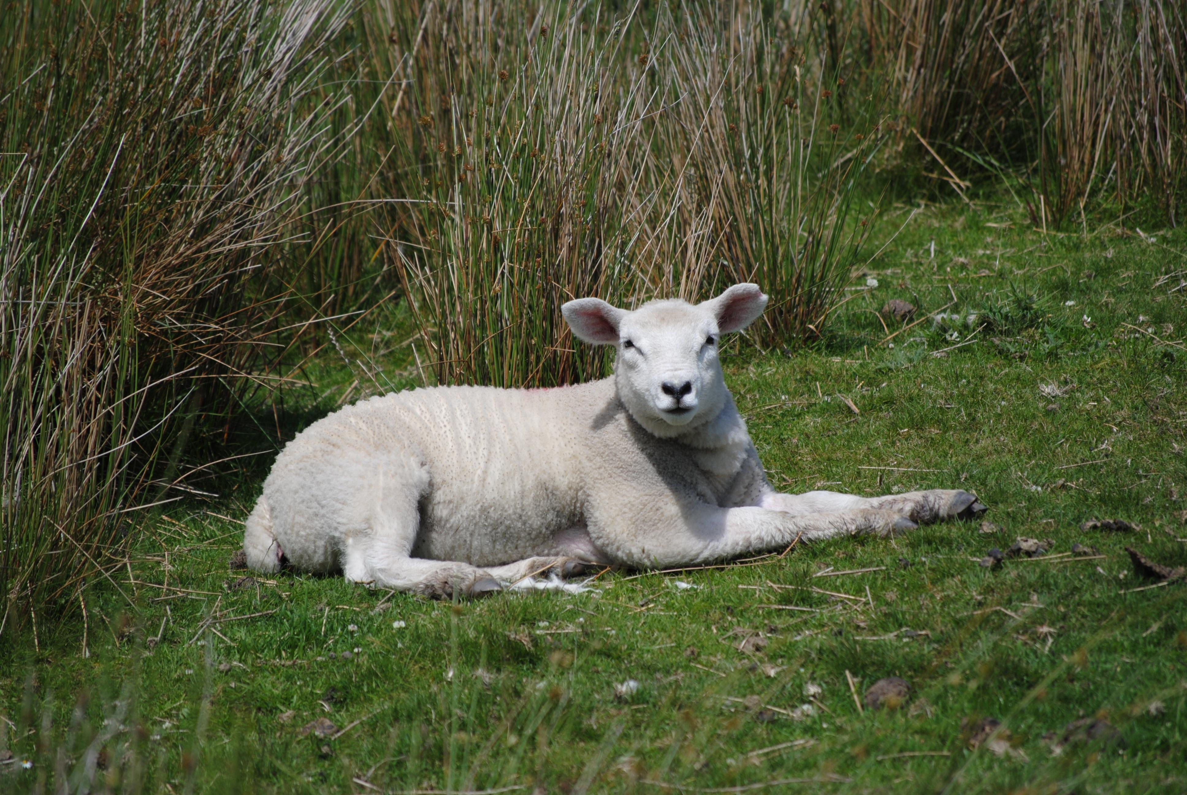 daging kambing untuk ibu menyusui