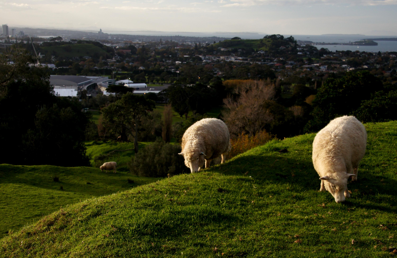 Images gratuites la nature herbe champ ferme prairie - Photos de moutons gratuites ...