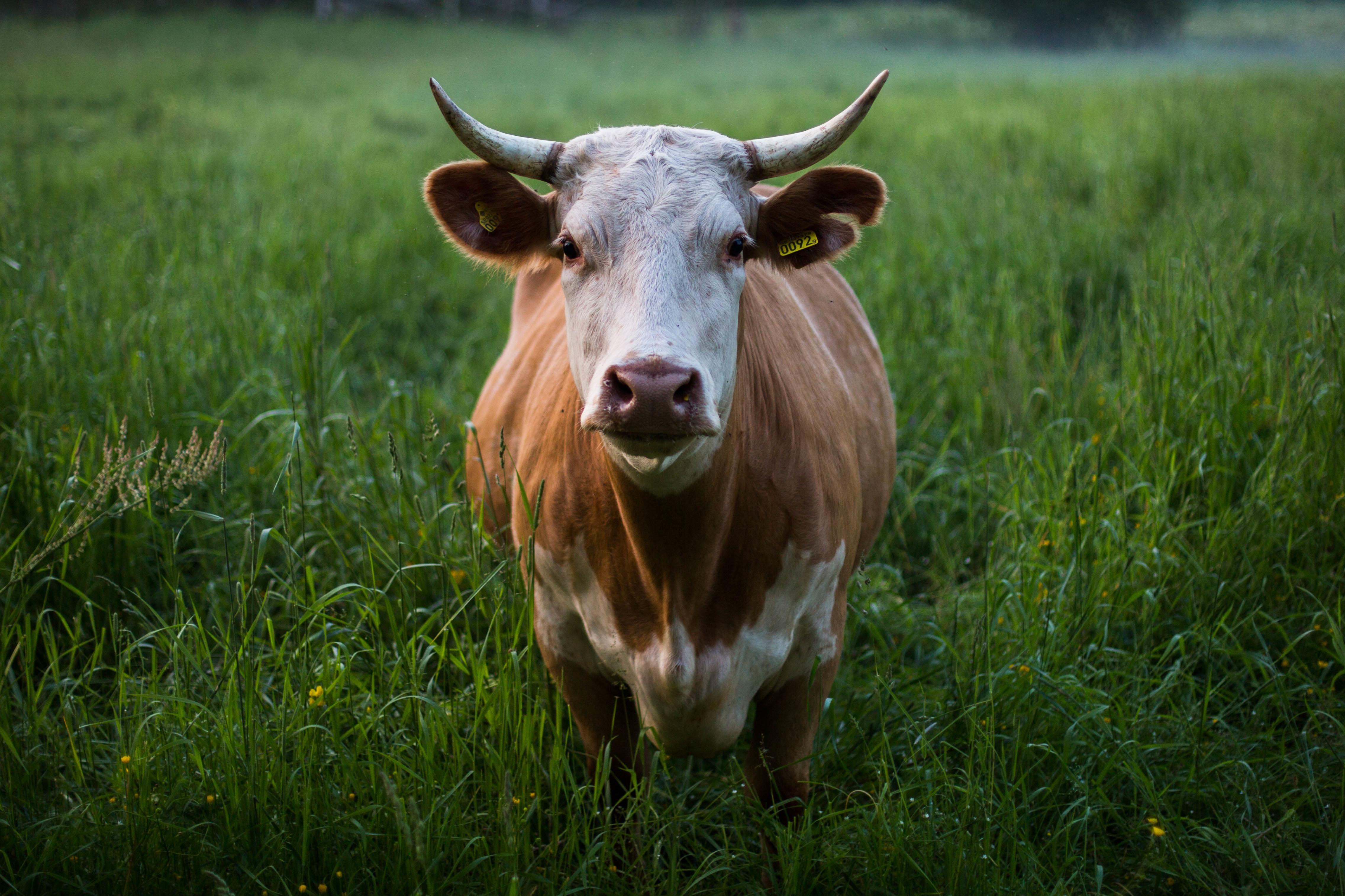 картинки быка домашнего образ более успешного