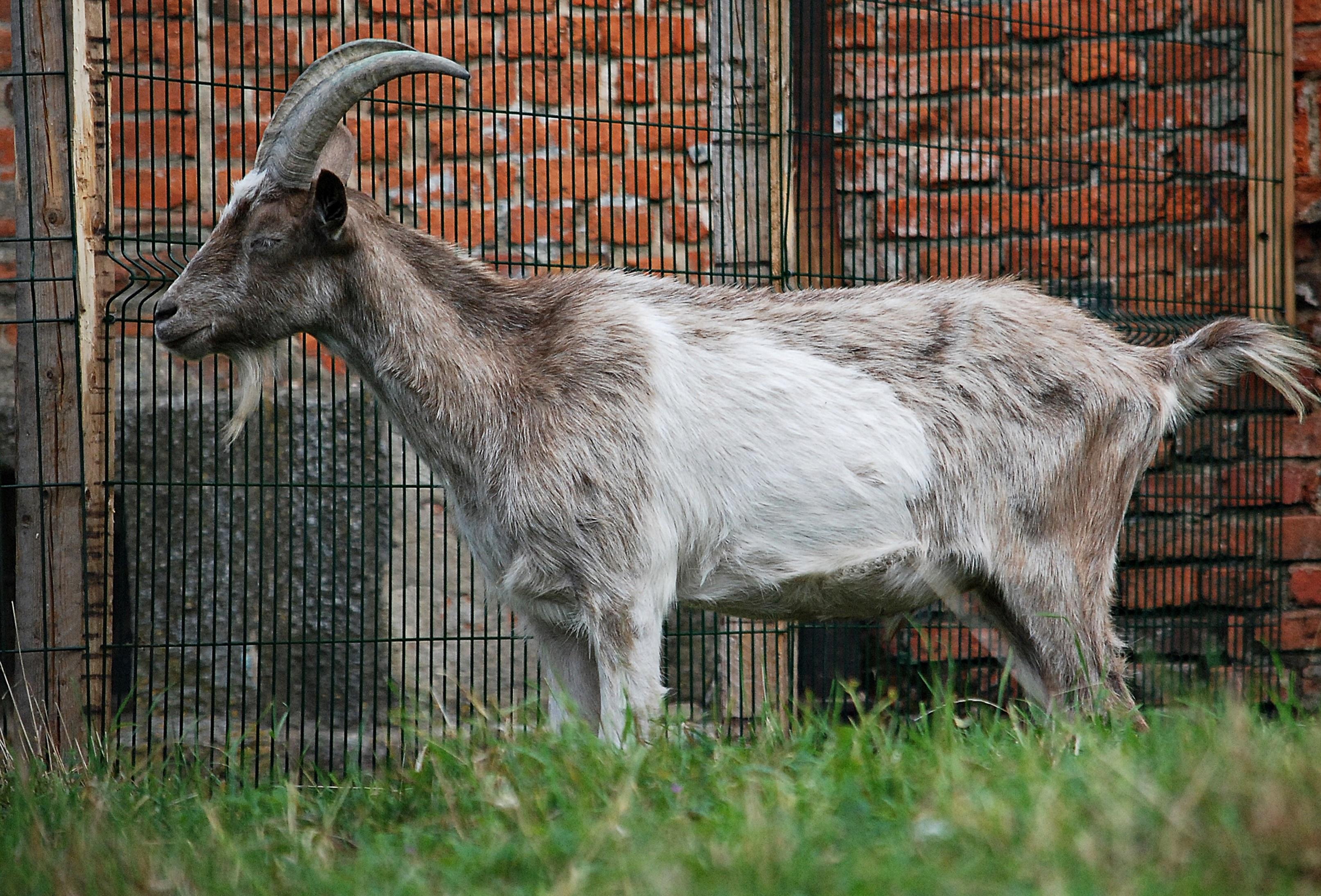 животное домашнее фото козы