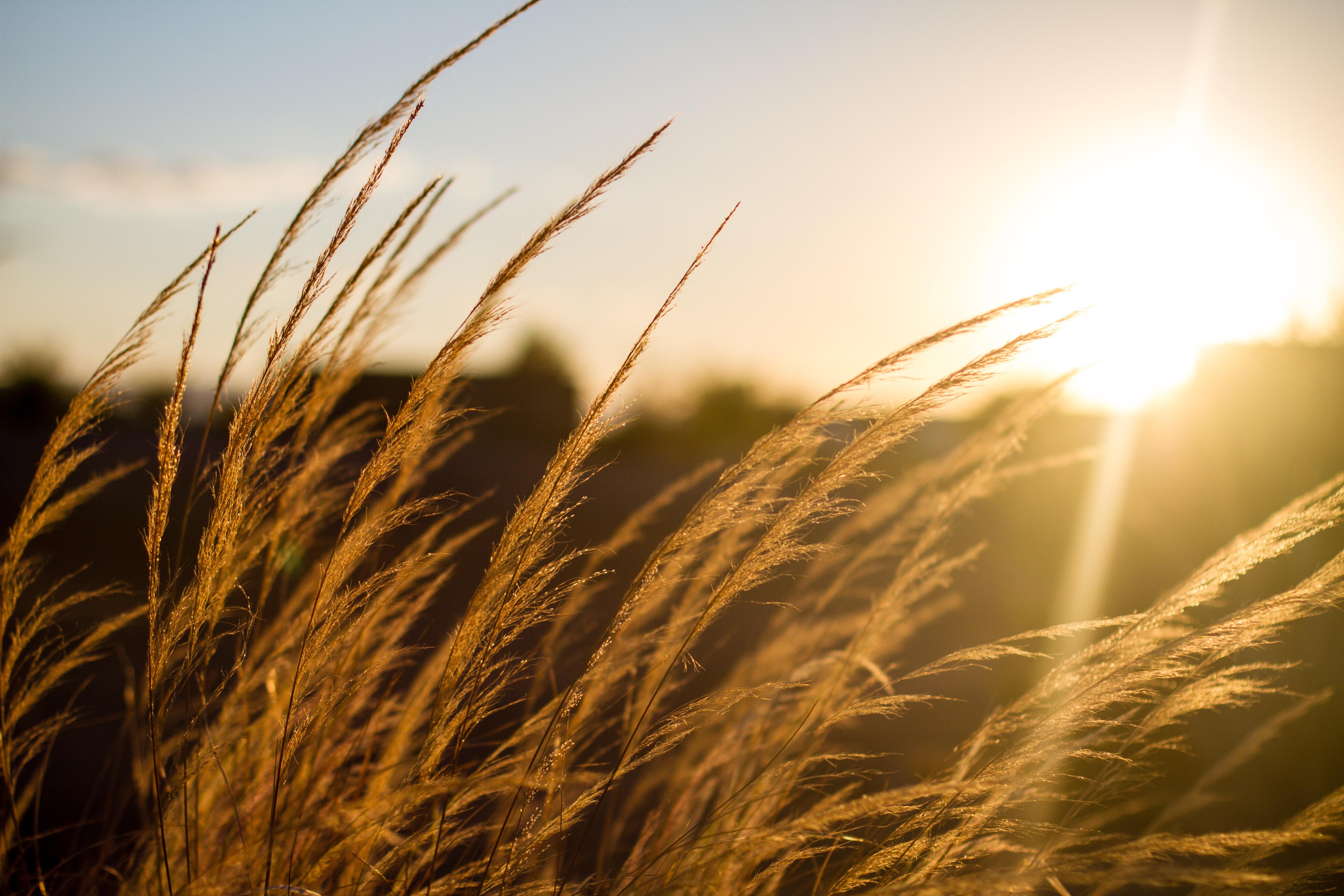 такие картинка рассвет и пшеница футляра выходе газопровода
