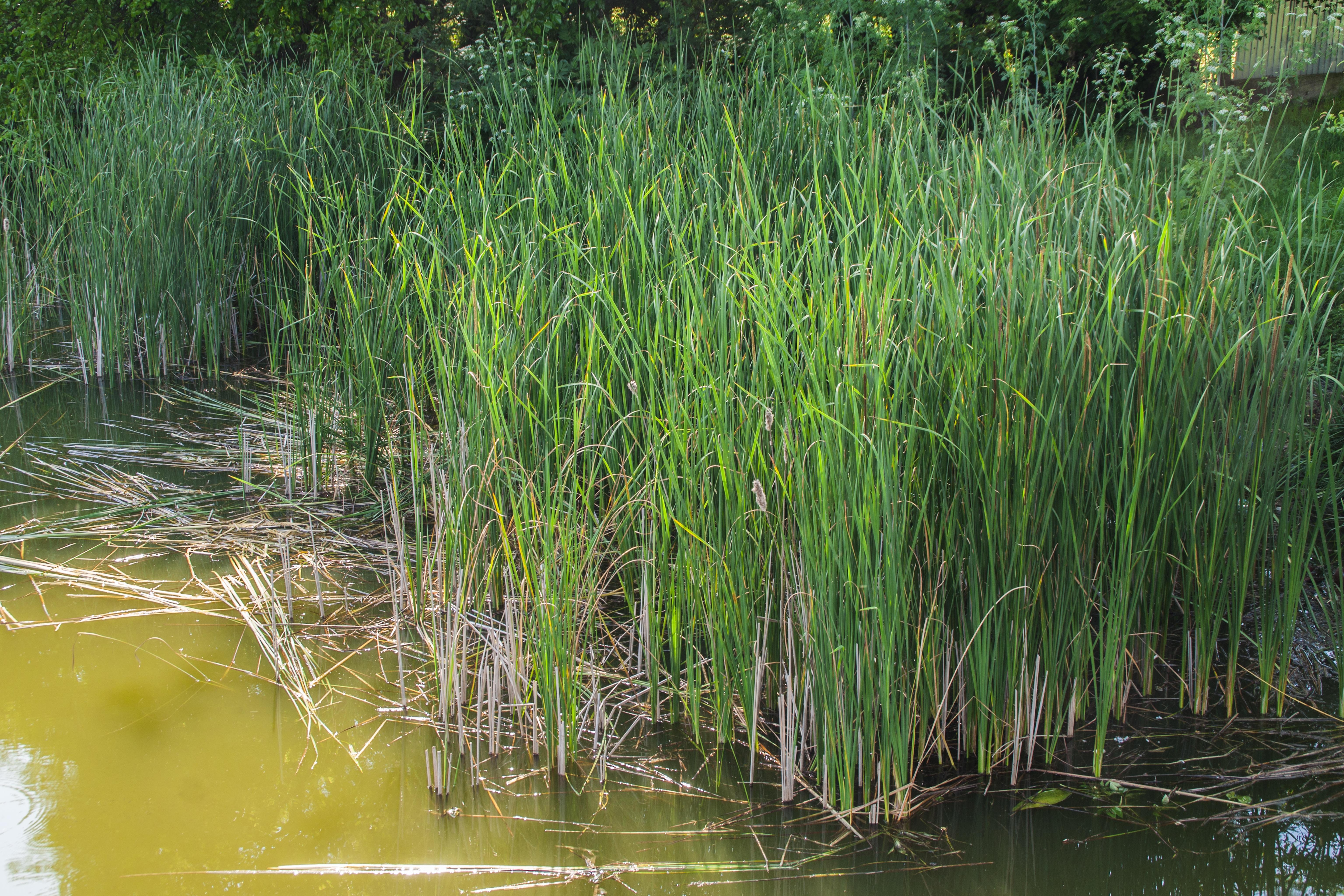 plante aquatique roseau