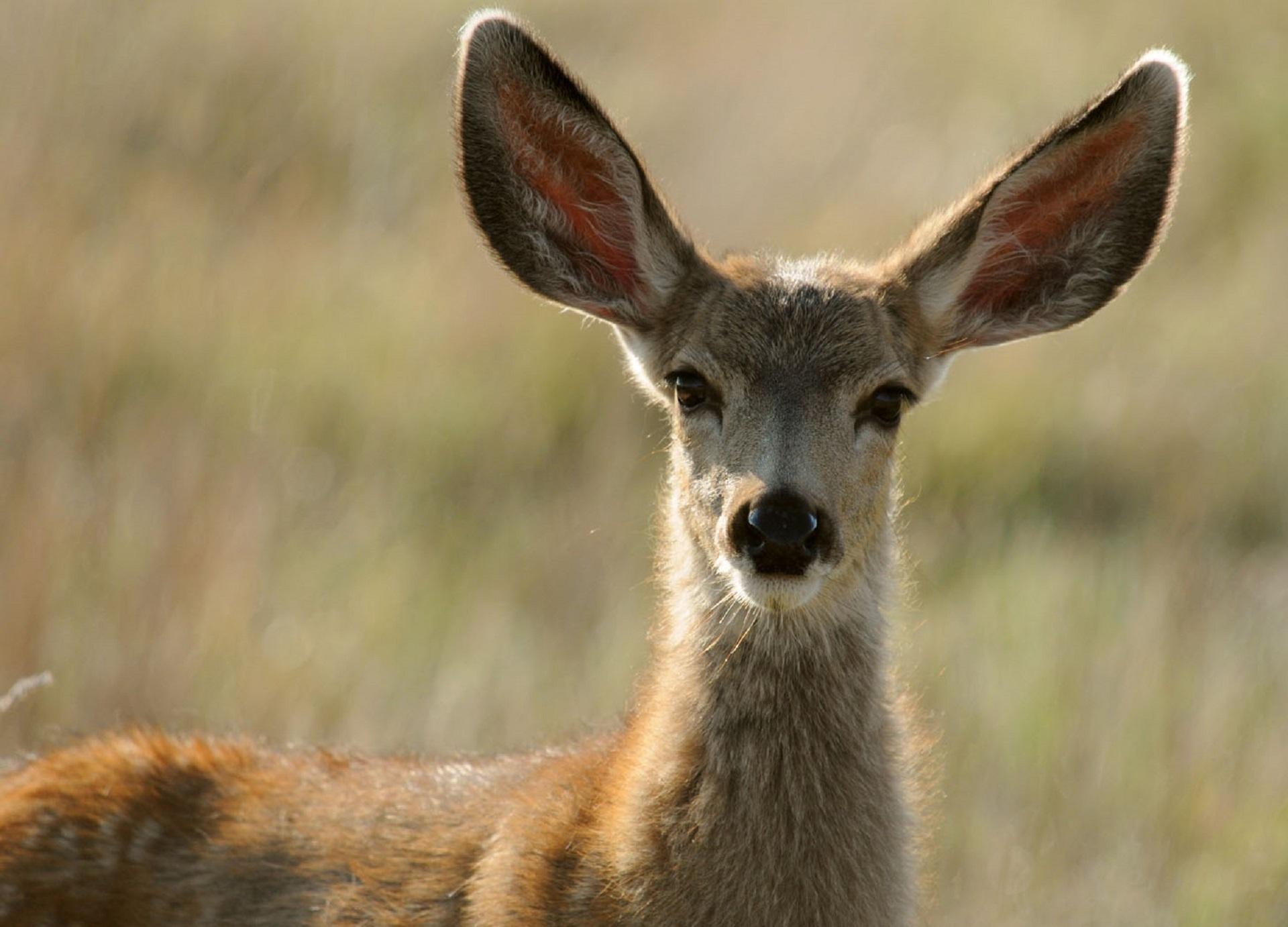 картинки животных лань статья представляет