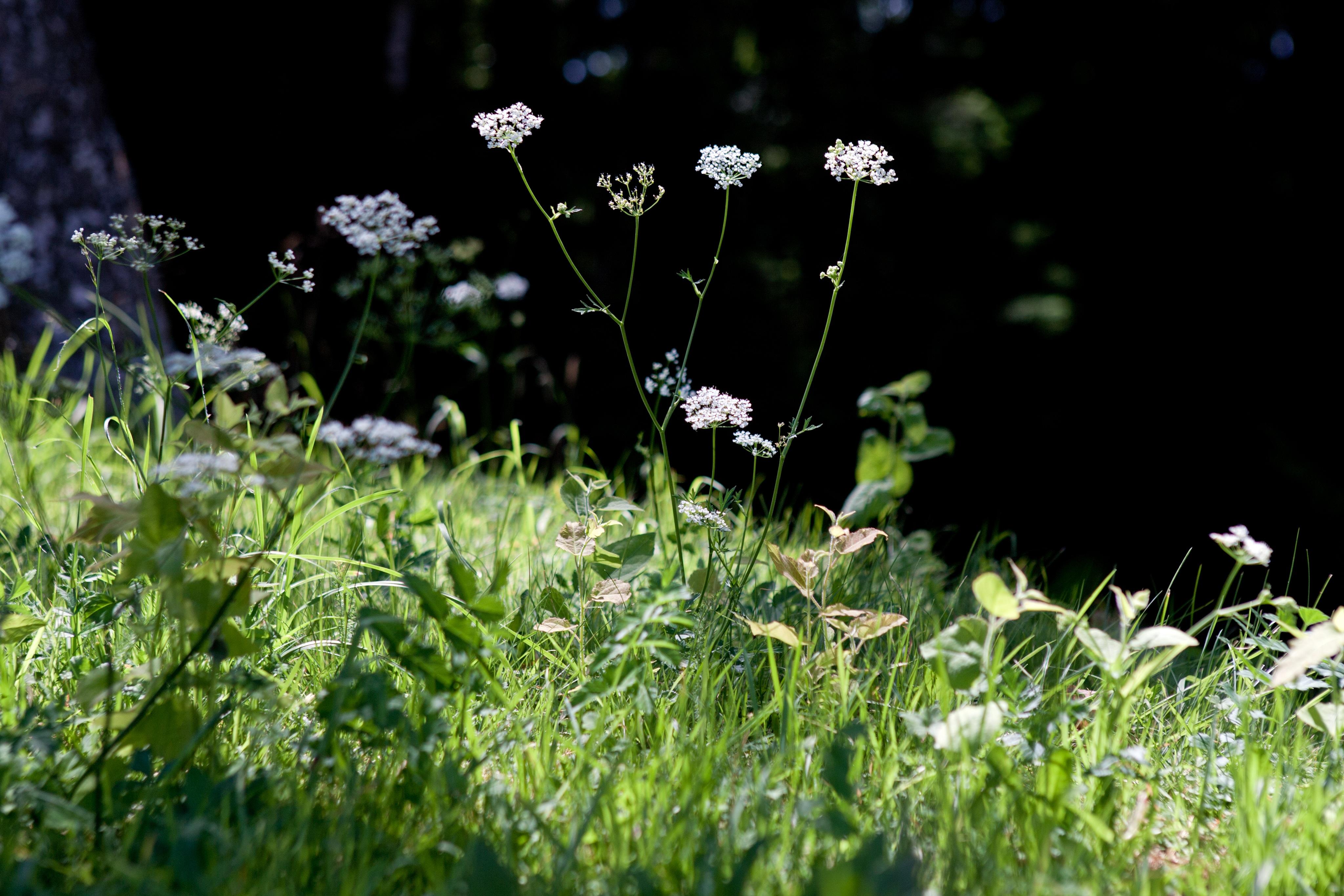 картинки дикорастущих трав древности наших