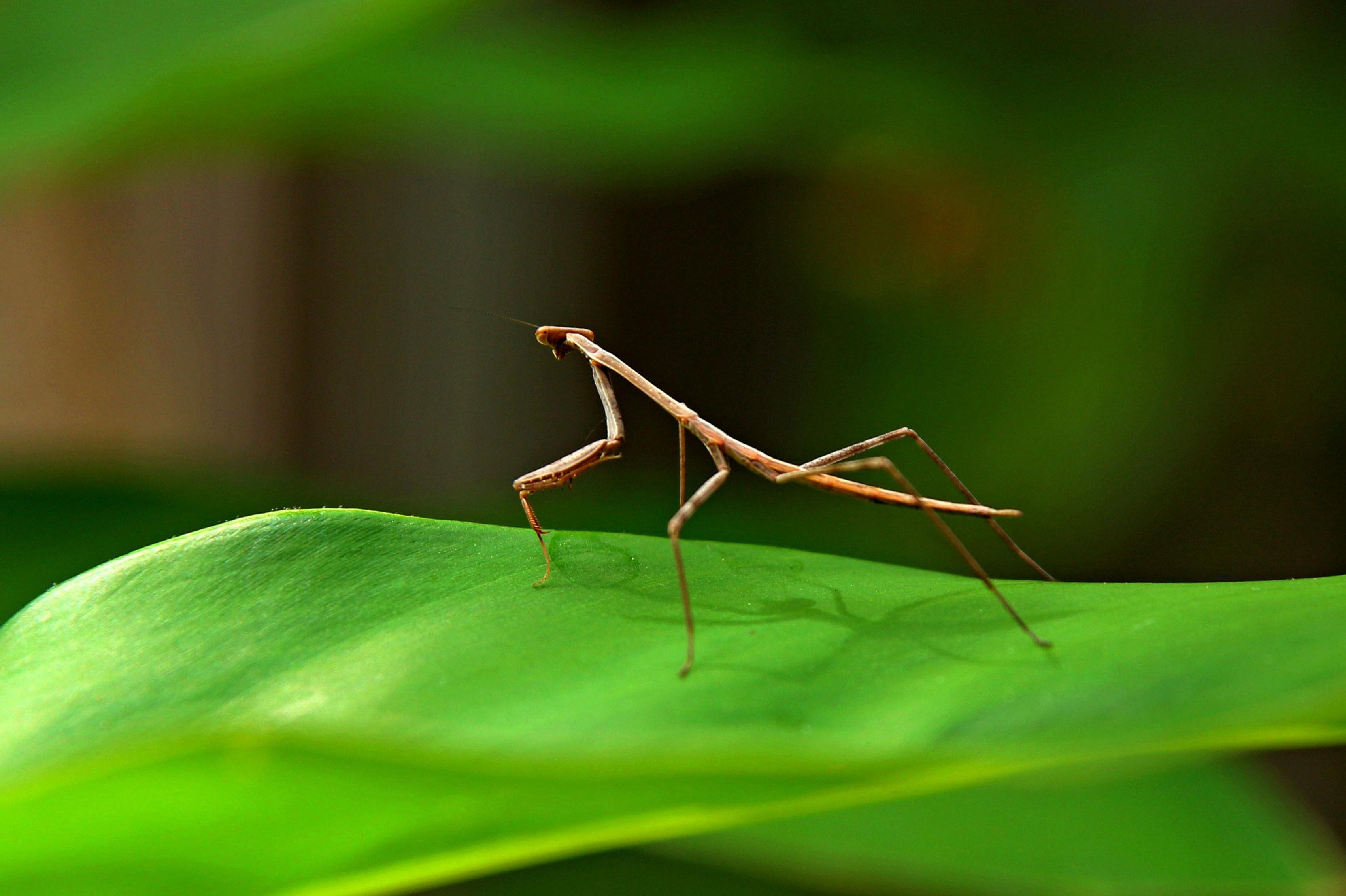 Free Images Nature Grass Leaf Green Praying Mantis Bug