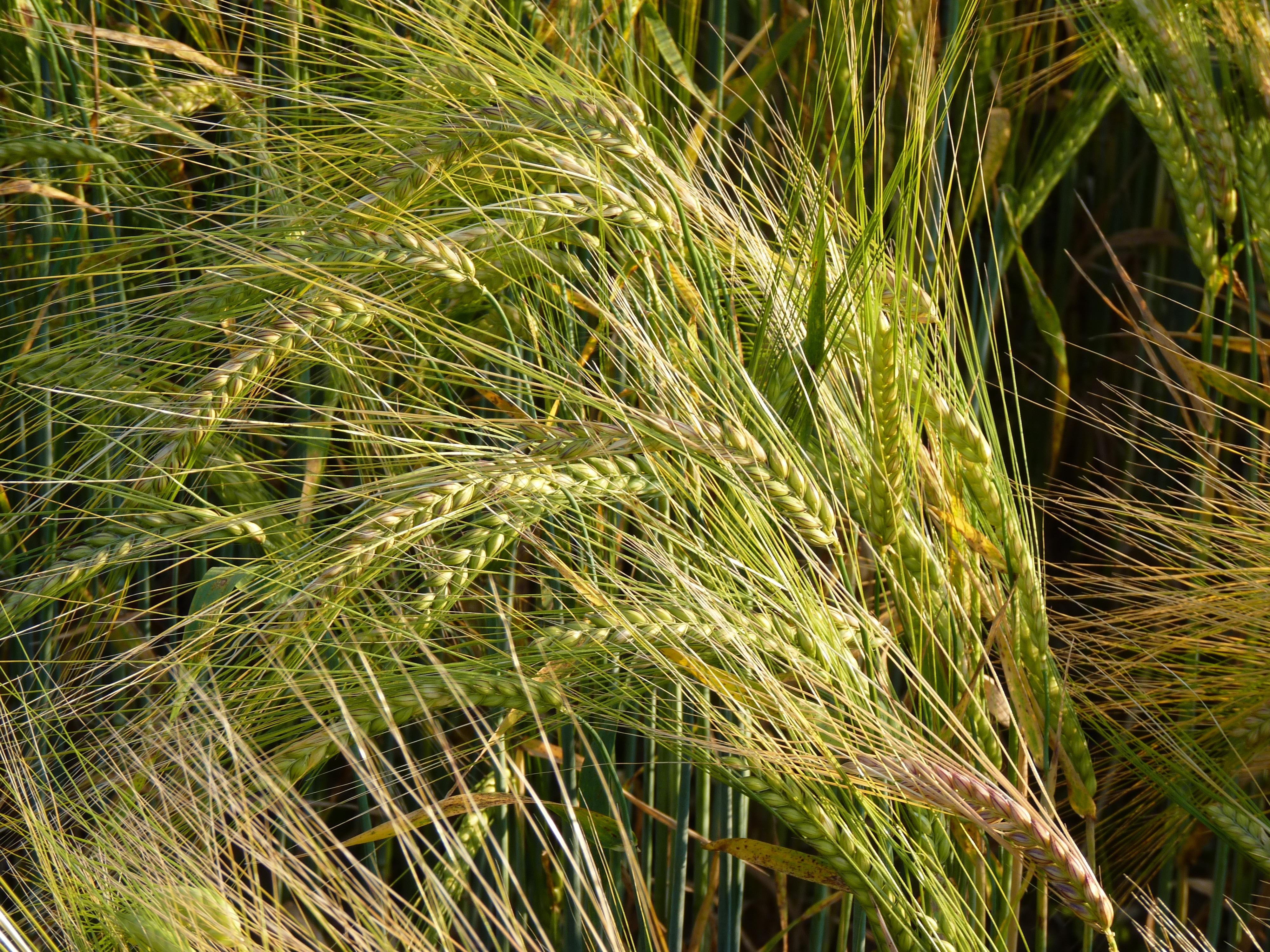 вариантов, картинки злаковых трав будешь обращаться ним