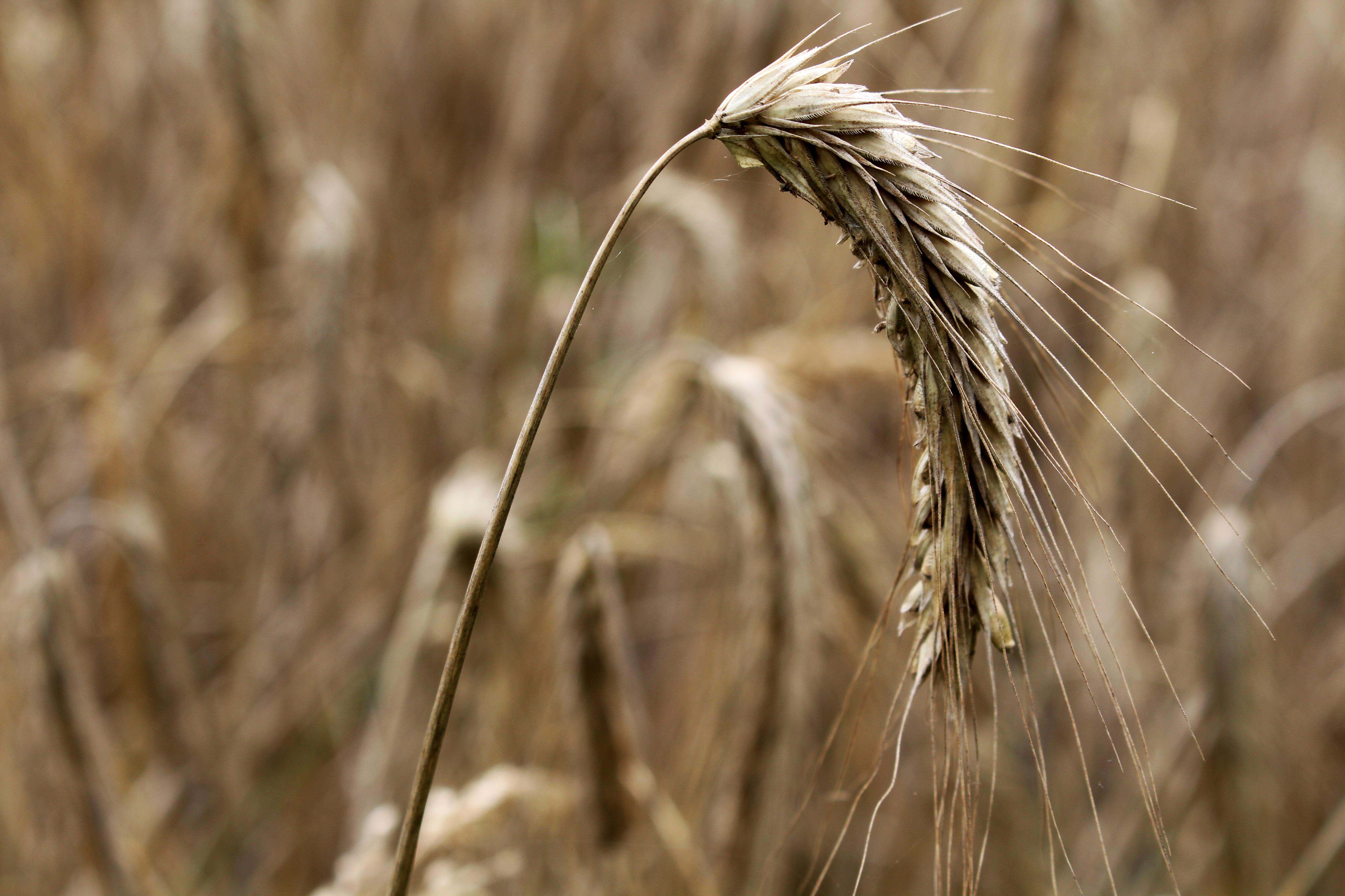 бывшей картинки пшеница ячмень рожь являются бродячими