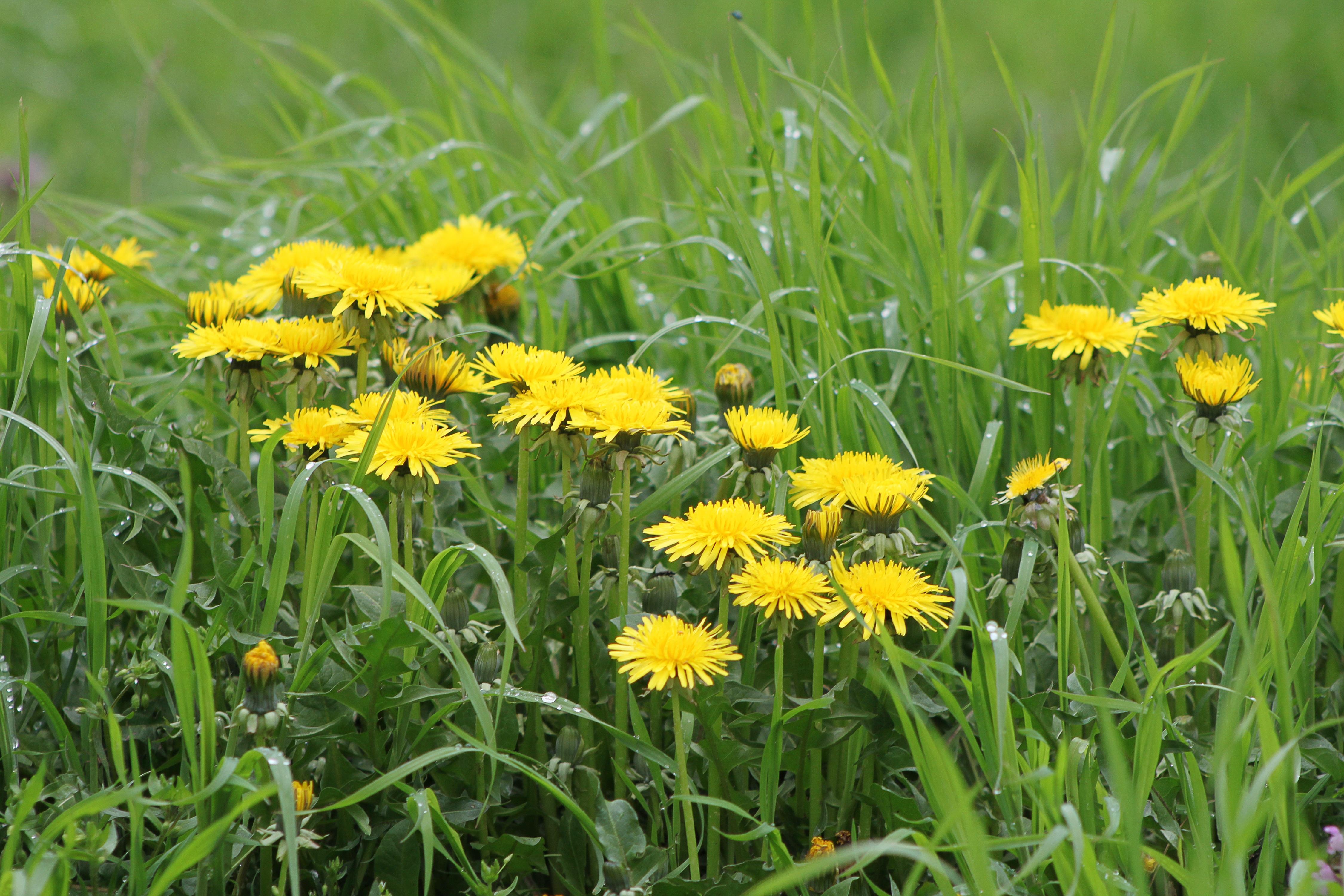 Free Images Nature Field Lawn Meadow Dandelion Prairie Bloom