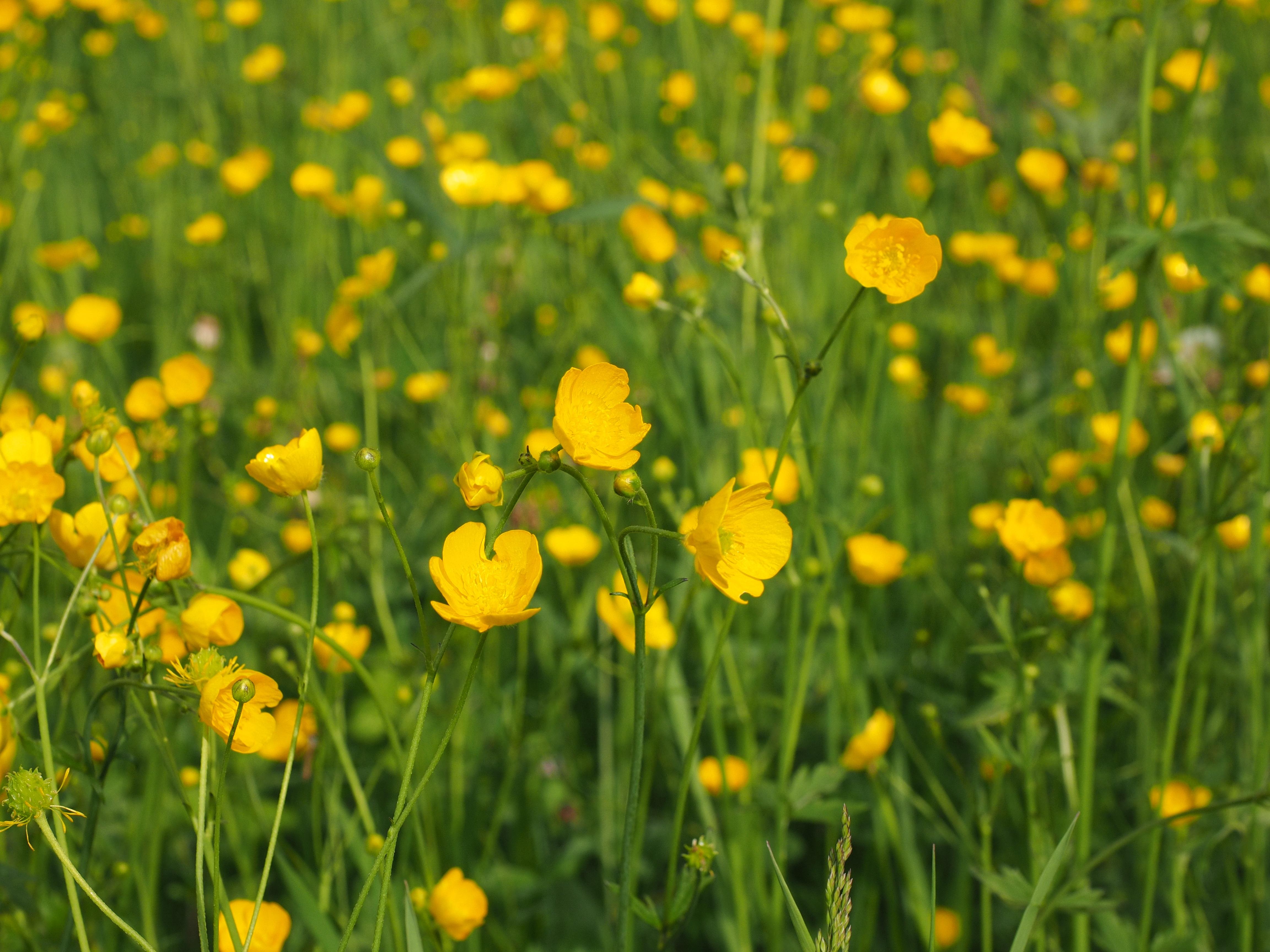 Free Images Nature Field Lawn Meadow Dandelion Prairie Green