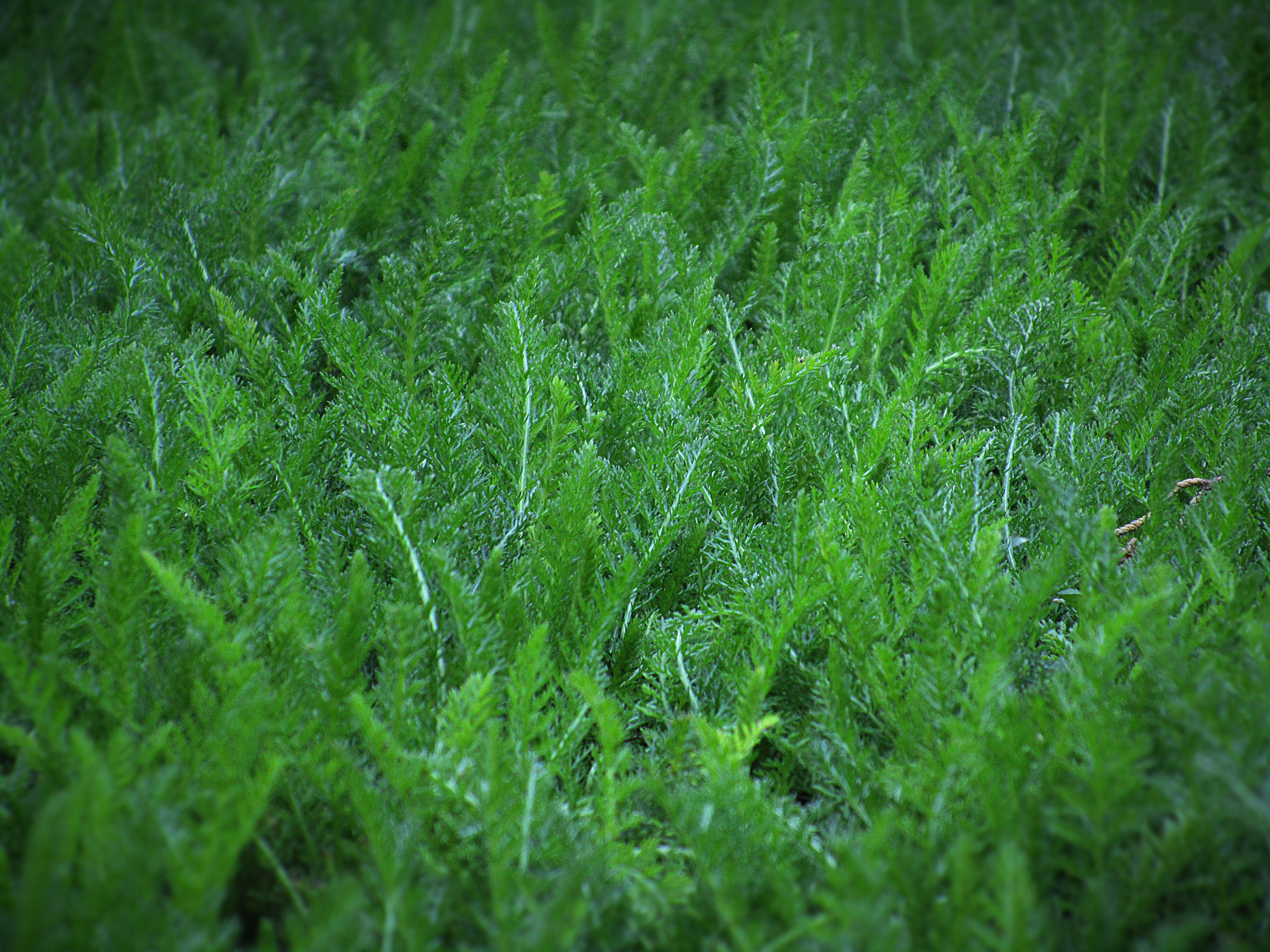images gratuites la nature herbe champ pelouse prairie feuille fleur mousse naturel. Black Bedroom Furniture Sets. Home Design Ideas