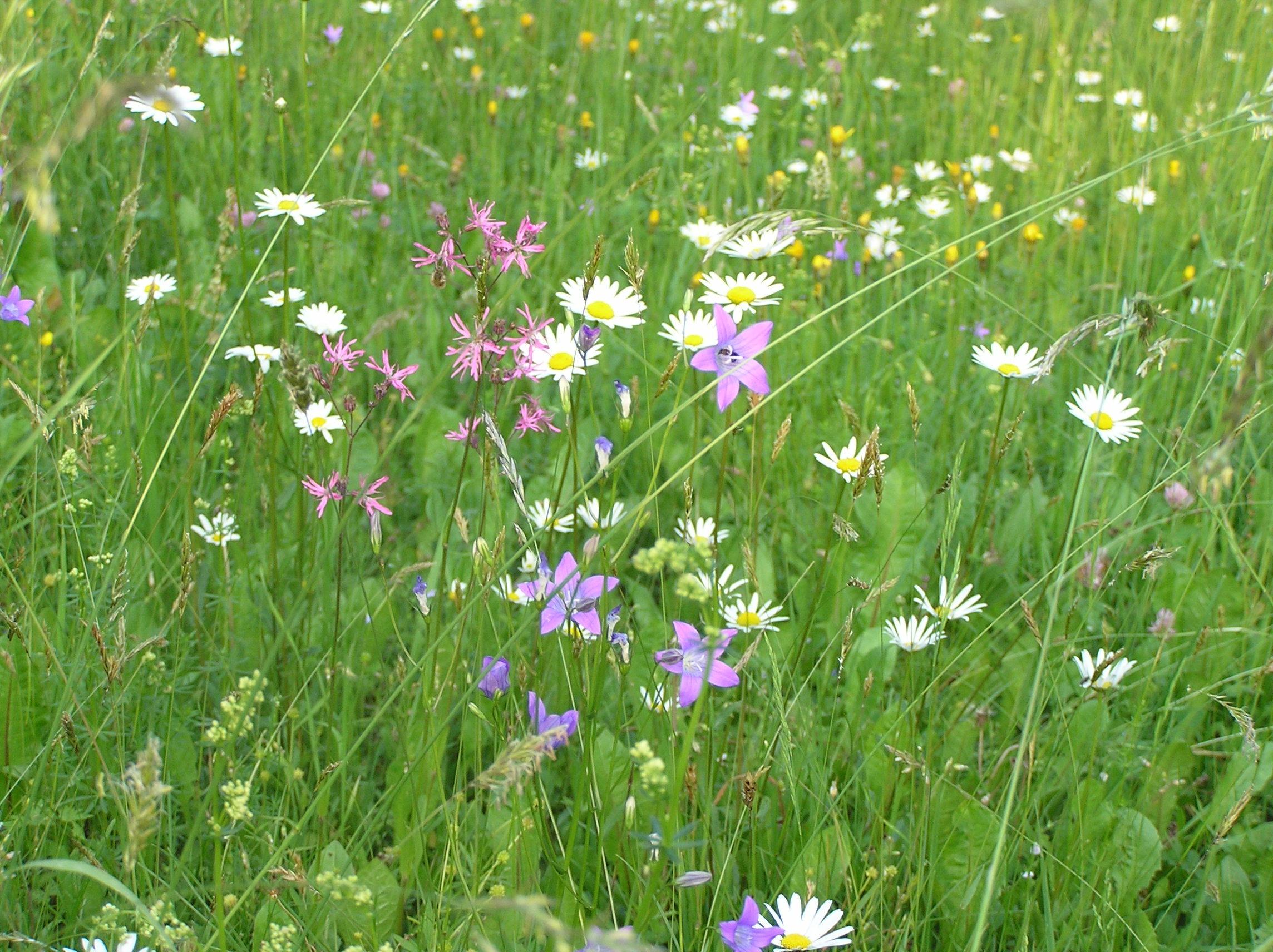 цветущие травы луговые моск обл фото название всех тортов, которые