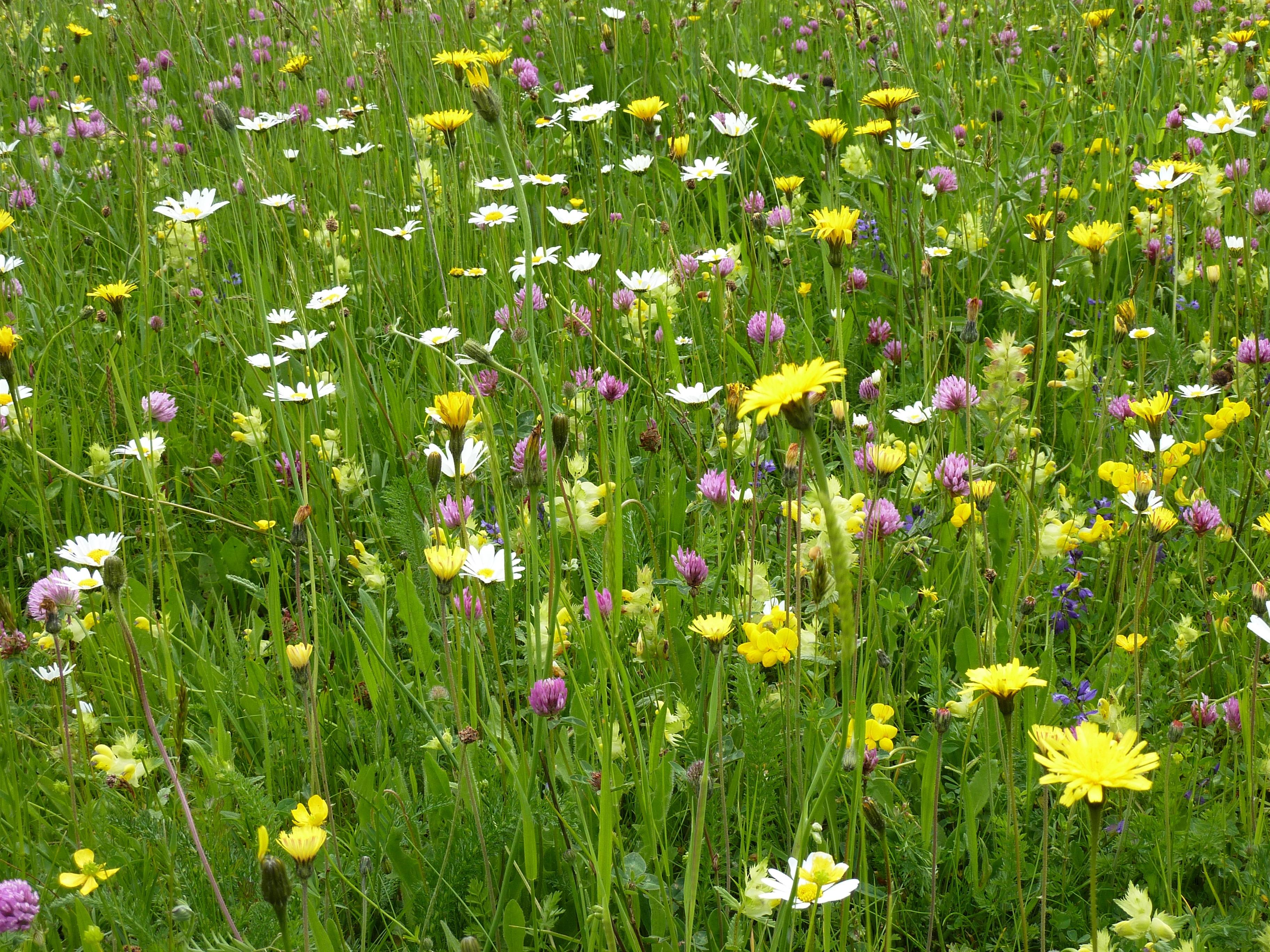 луговые растения травы фото и названия фразу дети