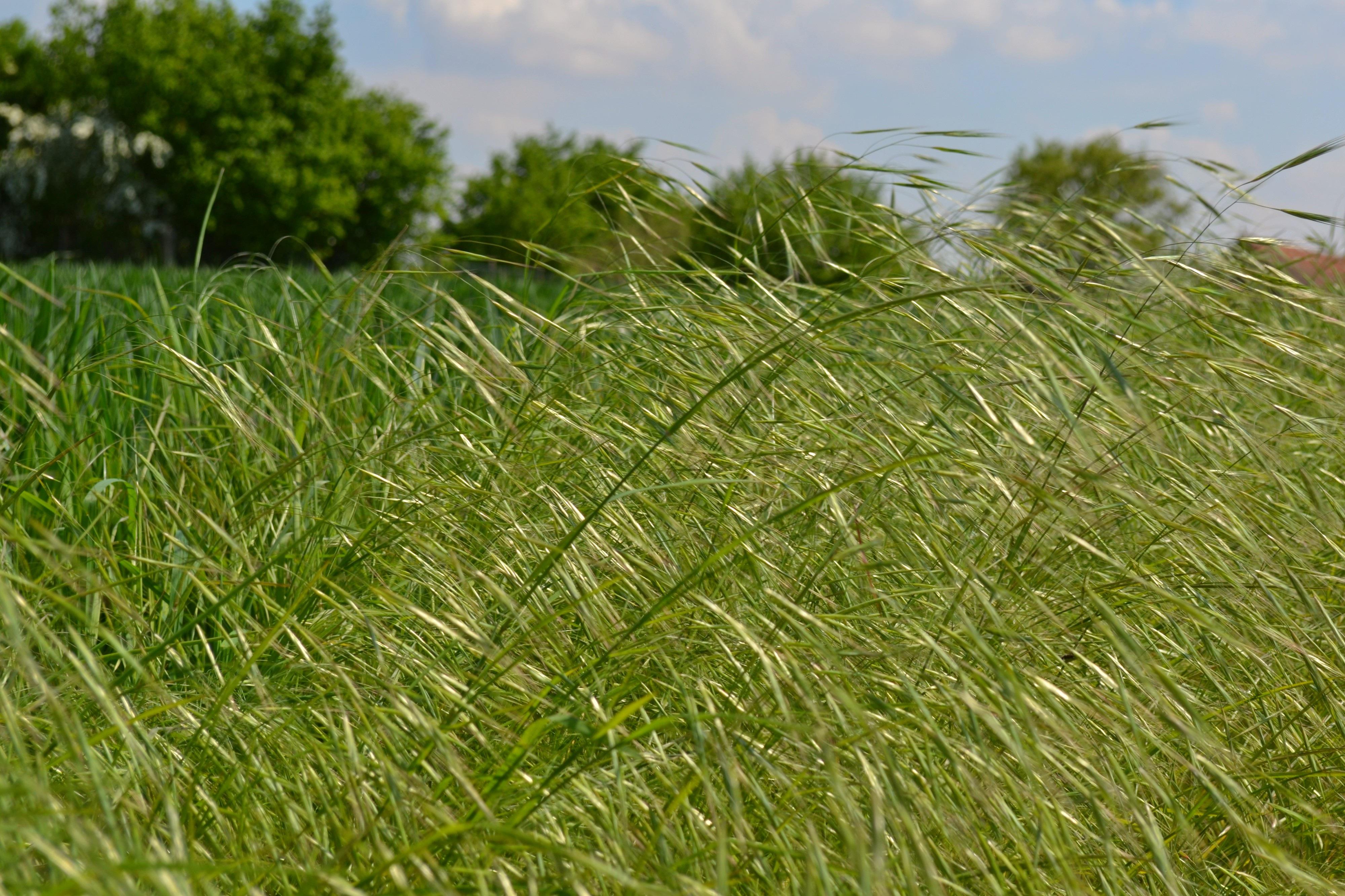 Images gratuites la nature herbe plante champ pelouse prairie prairie vert surgir - Quand planter de la pelouse ...