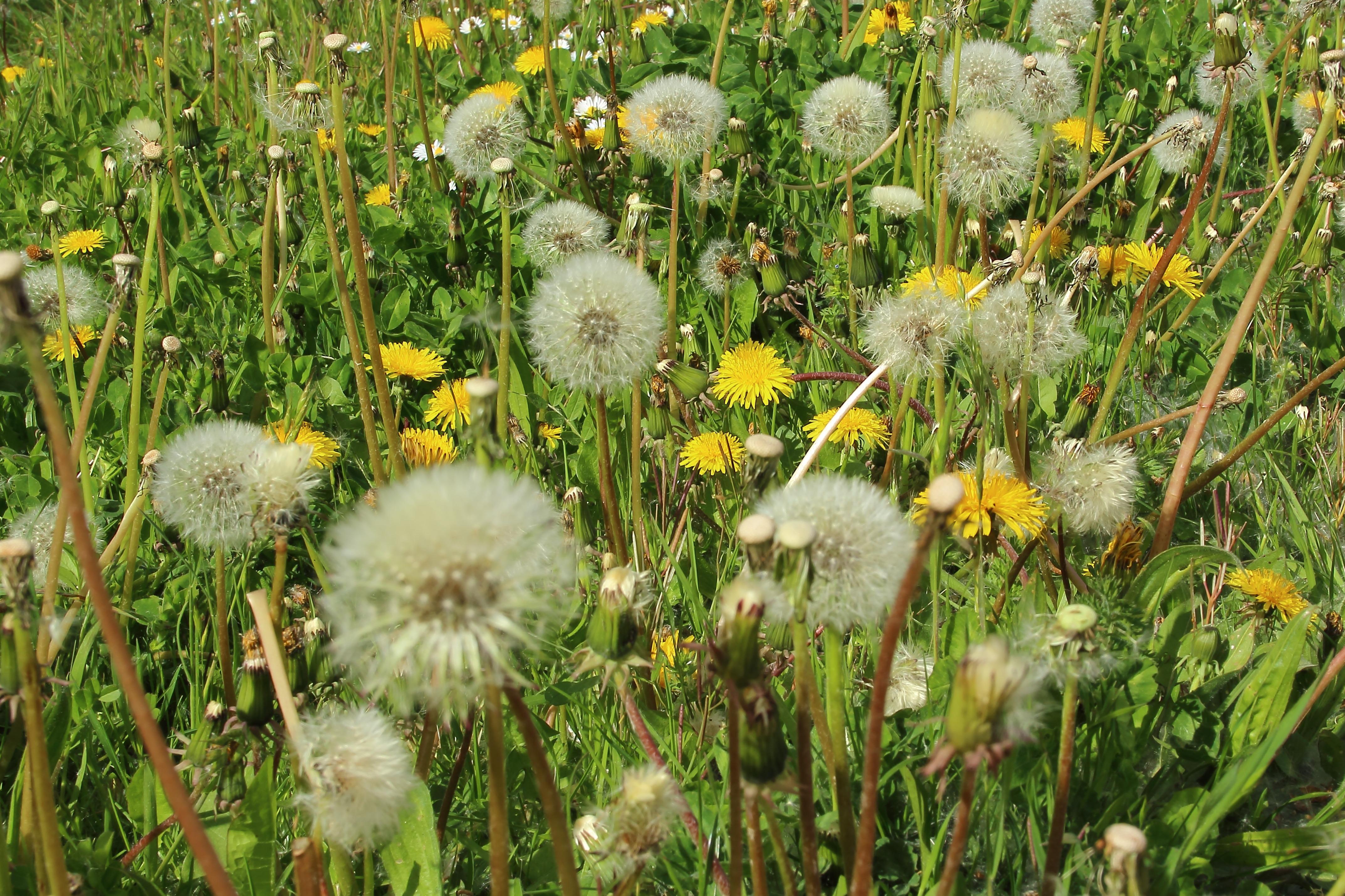 Immagini Belle : natura, dente di leone, prateria, fiore, allergia ...