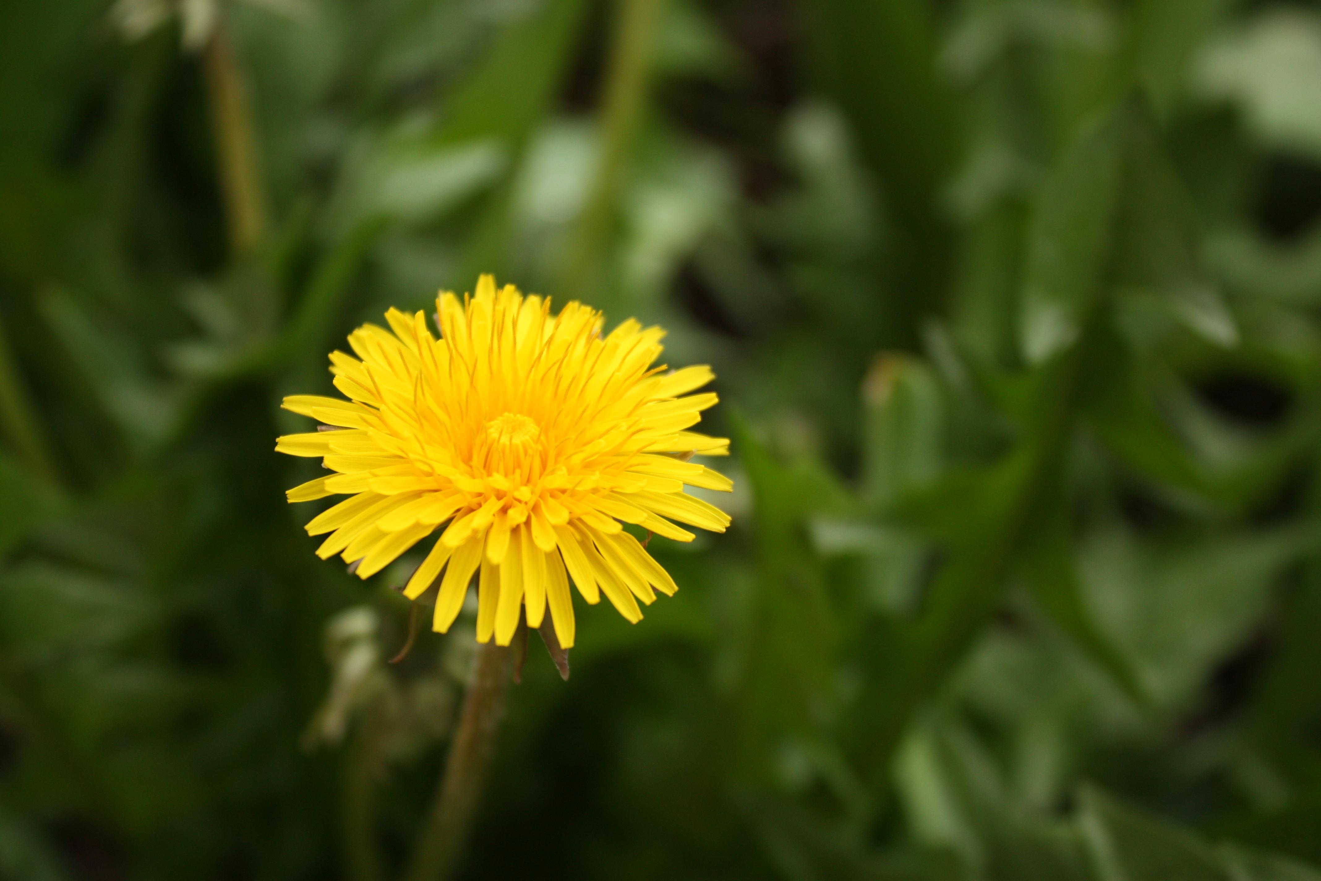 Images Gratuites La Nature Herbe Champ Prairie Pissenlit