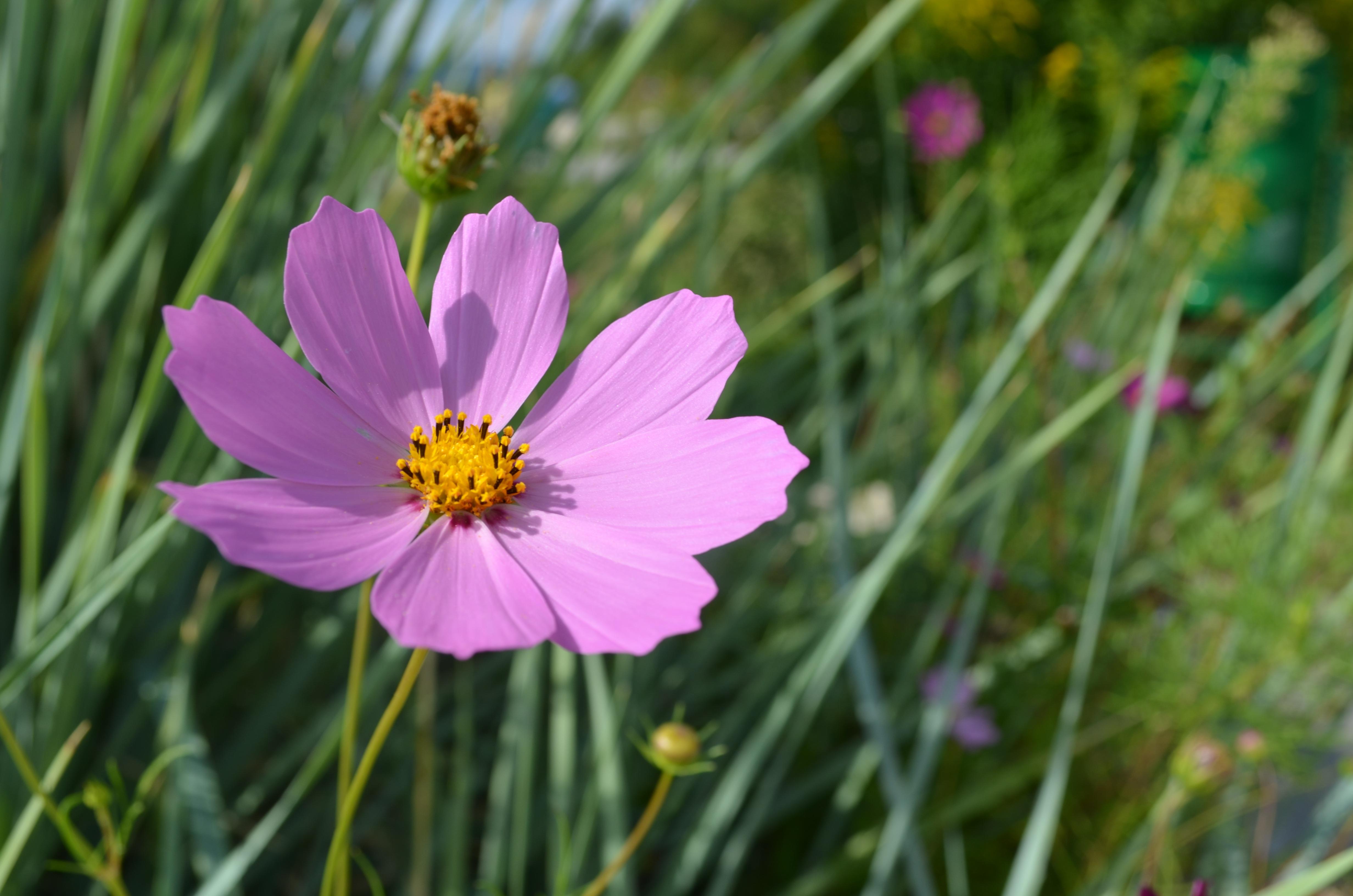 Free Images : nature, grass, field, meadow, prairie, flower, petal ...