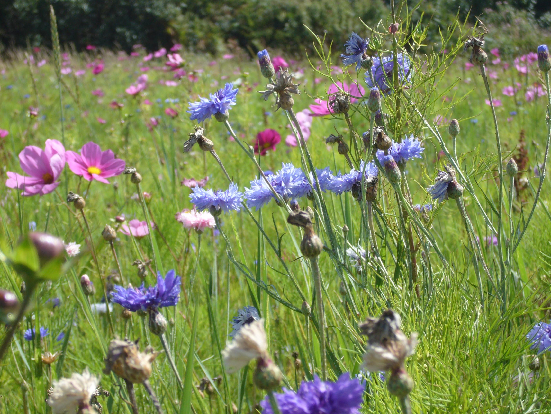 Blumenwiese Englisch kostenlose foto natur gras feld wiese prärie farbe