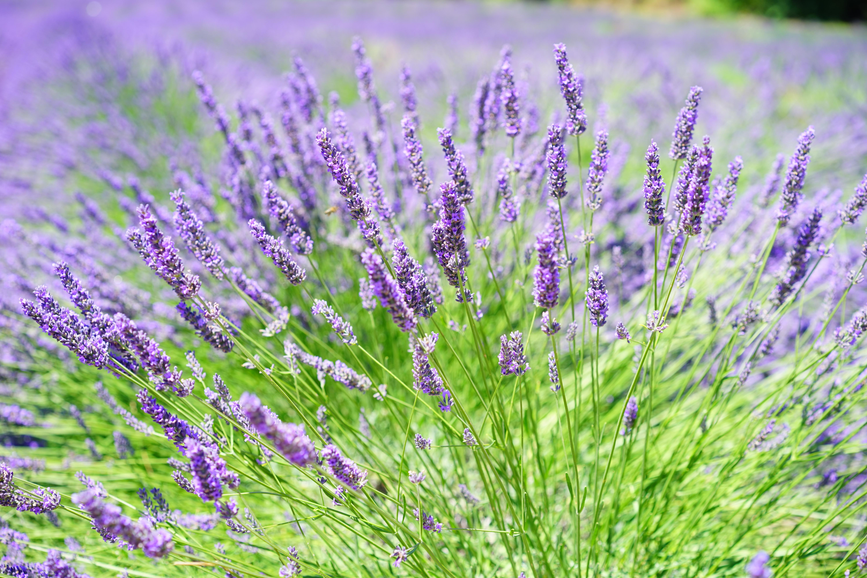 второму признаку лаванда фото растения и цветов его