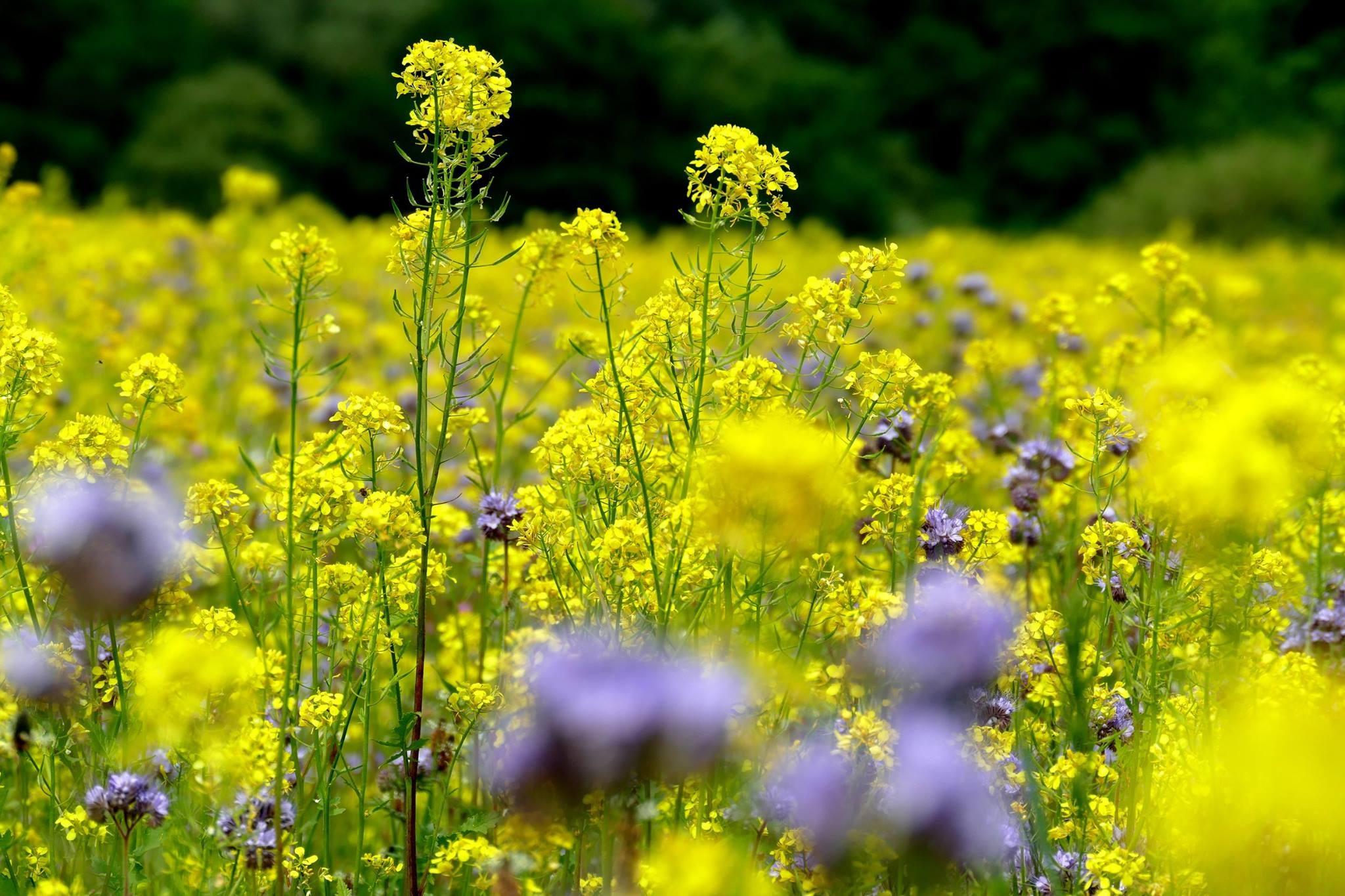 Цветущие травы луговые моск обл фото название