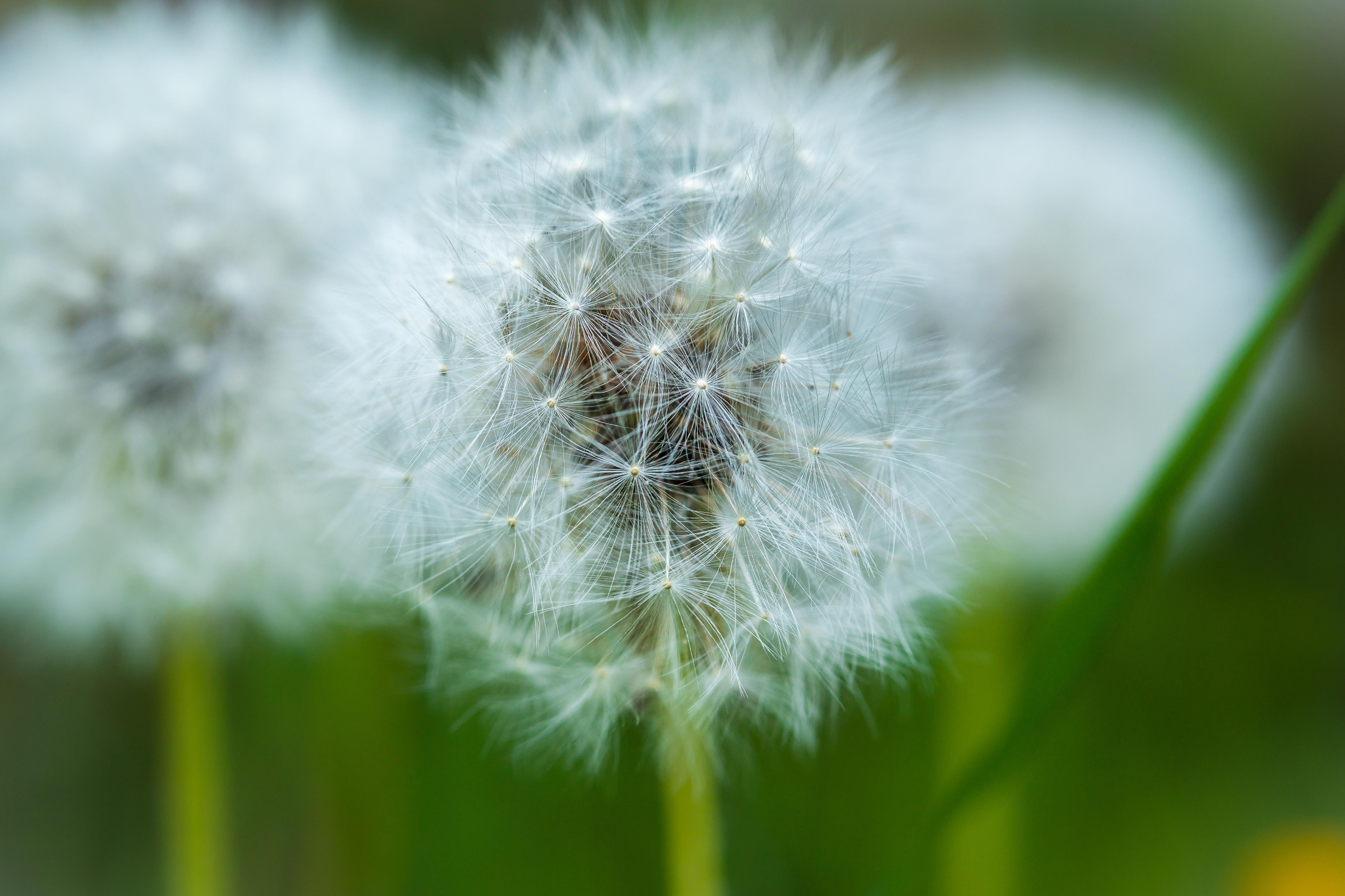 страна одуванчики цветы картинки держит
