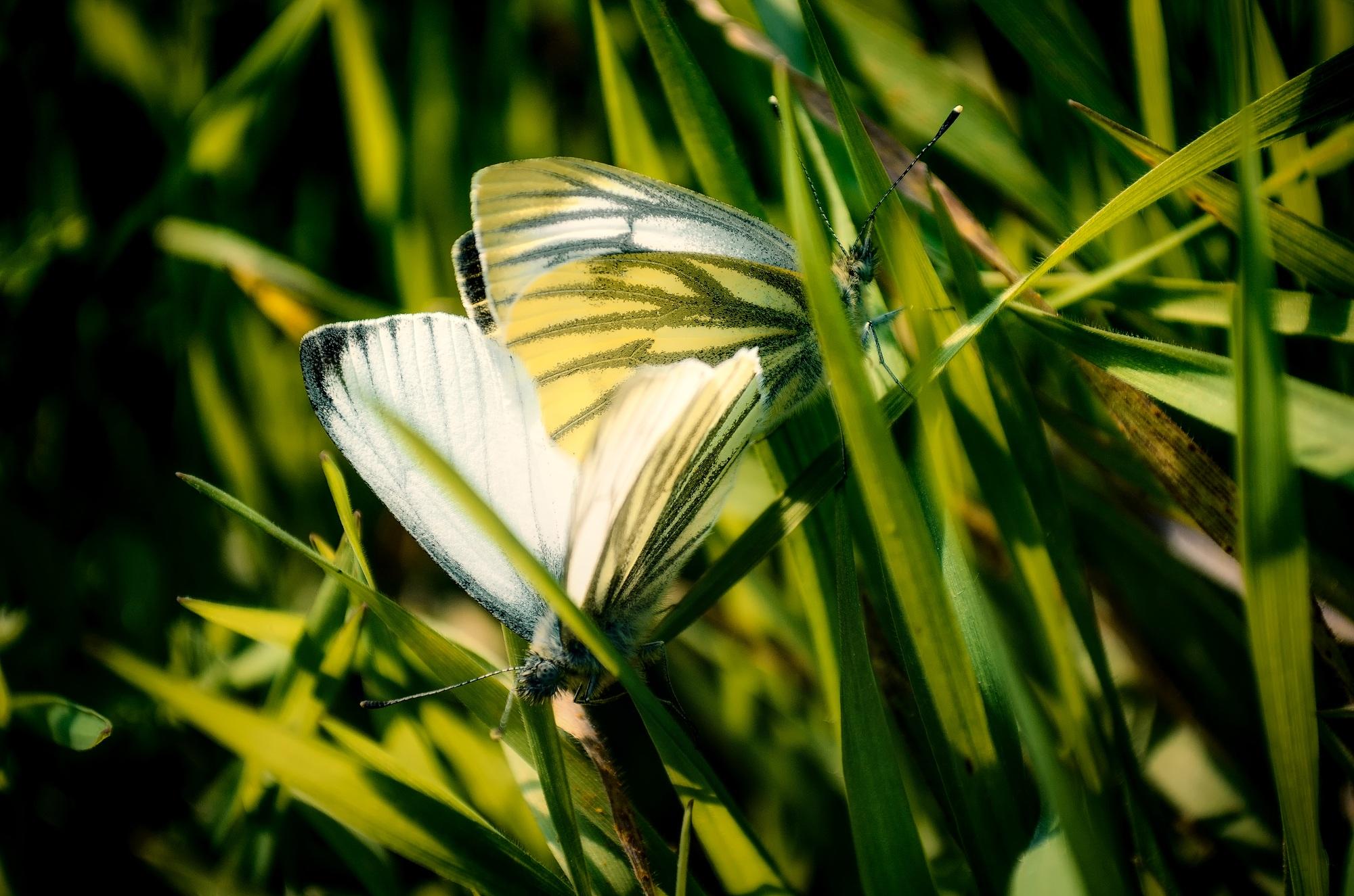 Бабочка в траве картинки