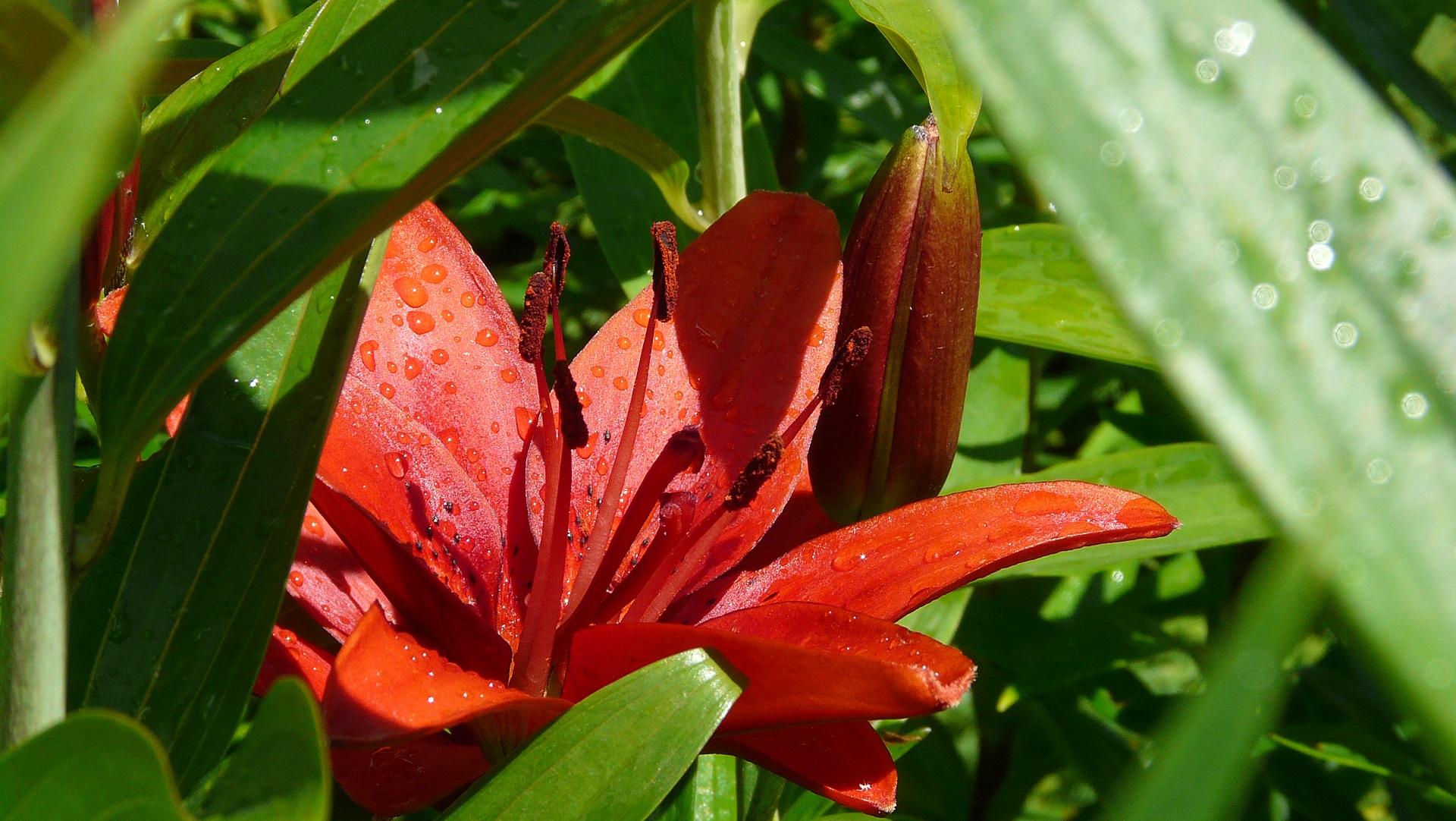Fotoğraf Doğa çimen Yaprak Taçyaprağı Yeşil Kırmızı Botanik