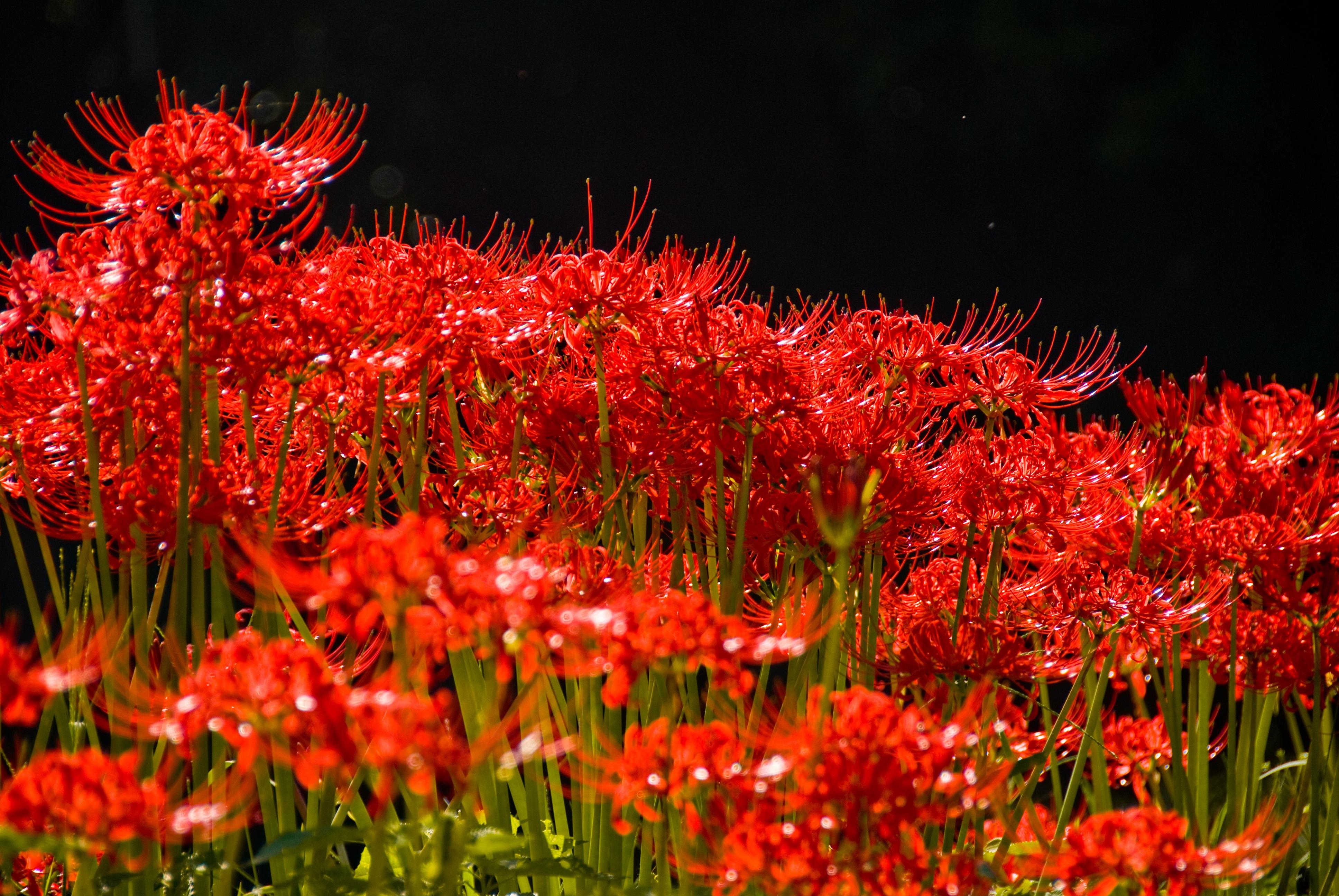 Nature Gr Plant Leaf Flower Red Autumn Botany Flora Season Wildflower Shrub Amaryllis Flowers Macro