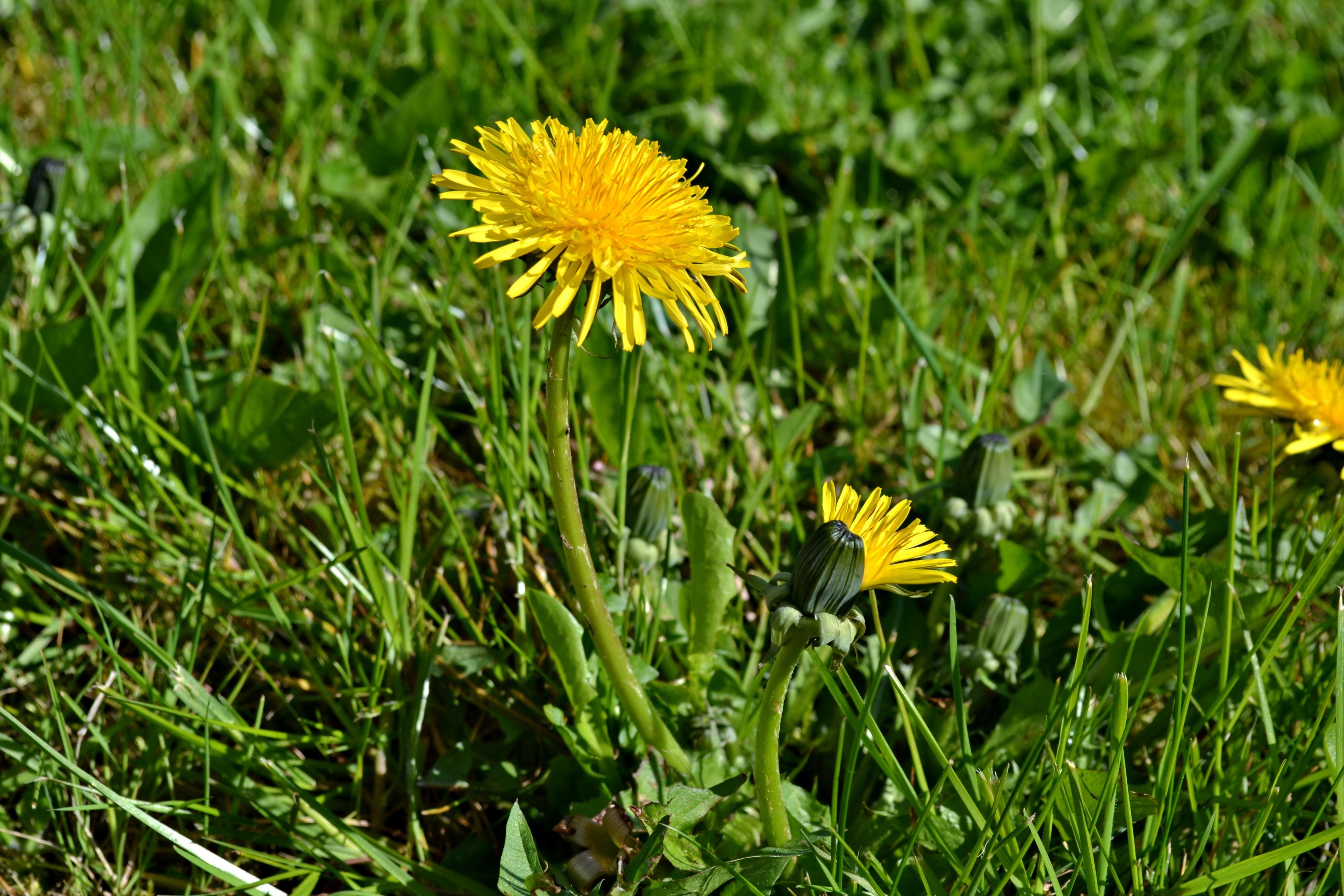 Free Images : nature, grass, plant, meadow, dandelion ...