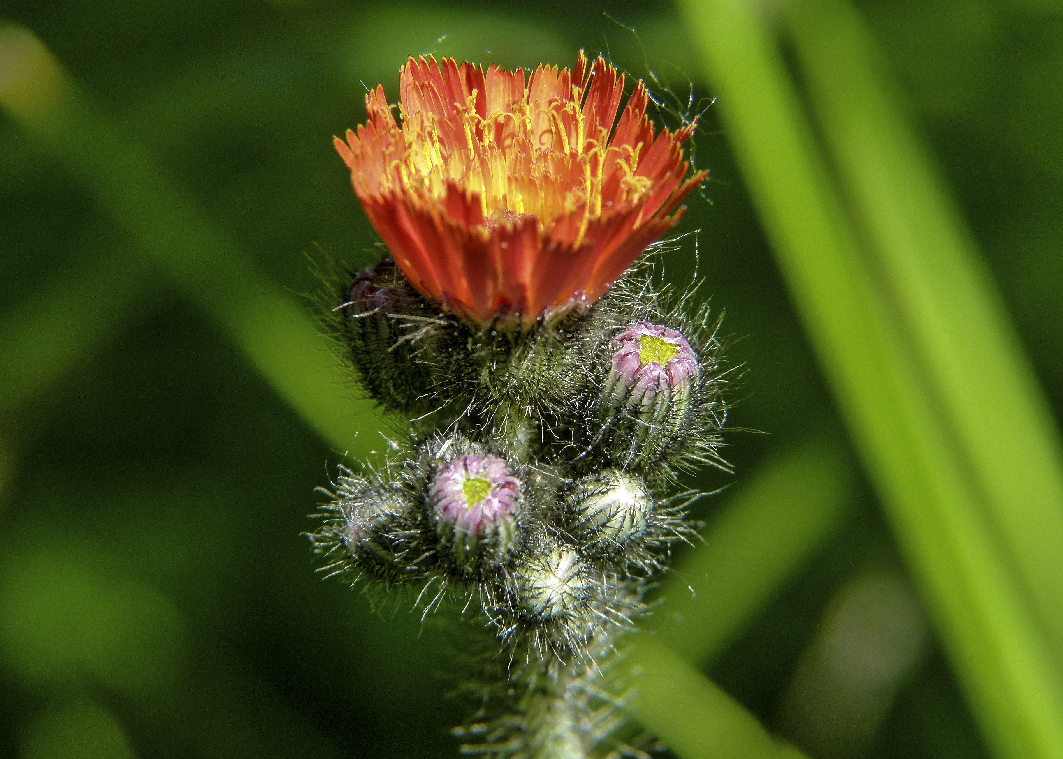 Images gratuites la nature herbe la photographie for Plante exterieur a fleur rouge